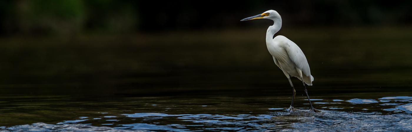 Little Egret (Image ID 38972)