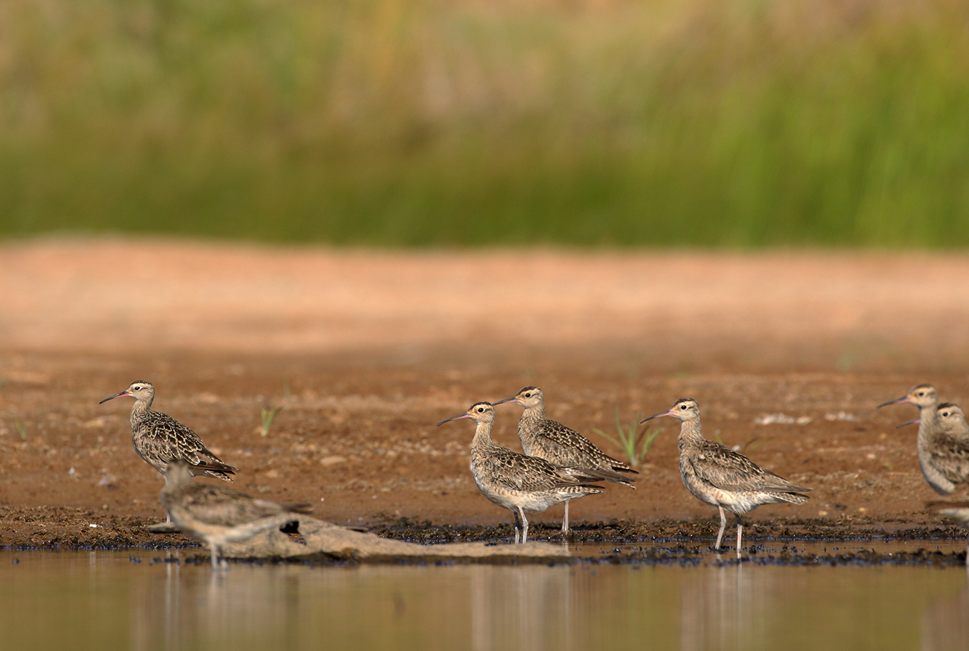 Little Curlew (Image ID 38964)