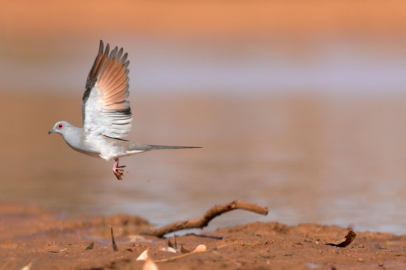 Diamond Dove (Image ID 39329)
