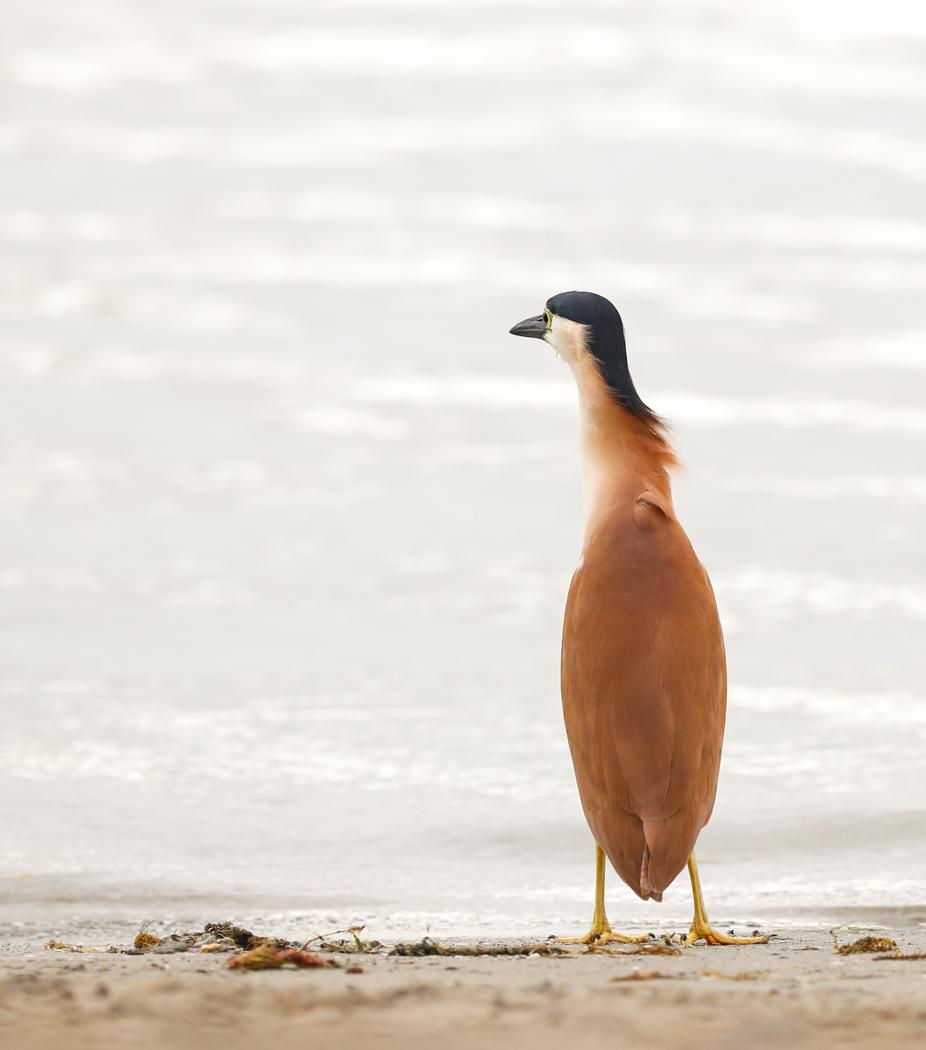 Nankeen Night-Heron (Image ID 38883)