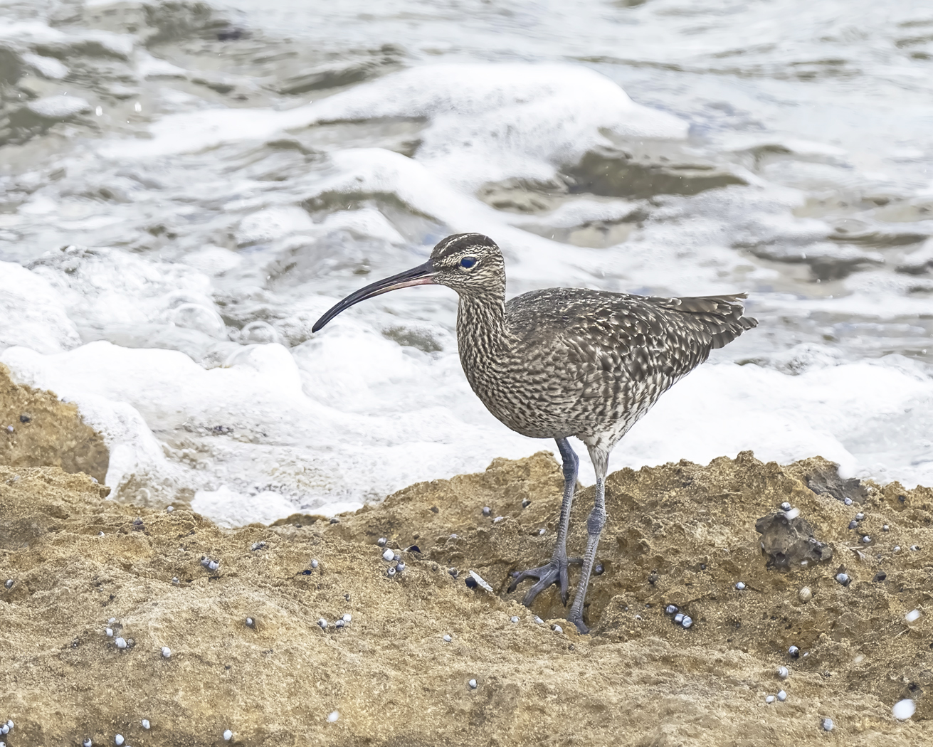 Whimbrel (Image ID 39373)