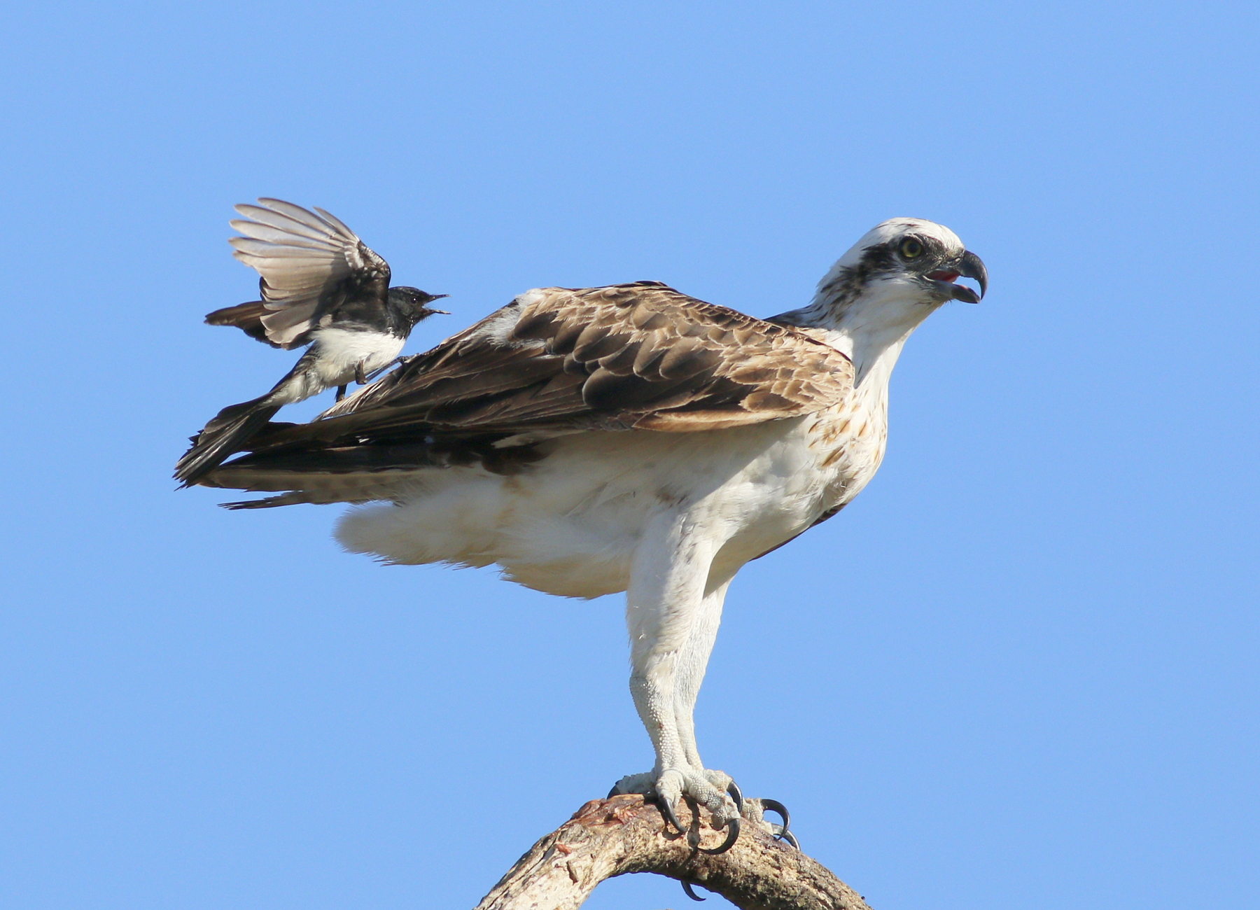 Osprey, Willie Wagtail (Image ID 38890)