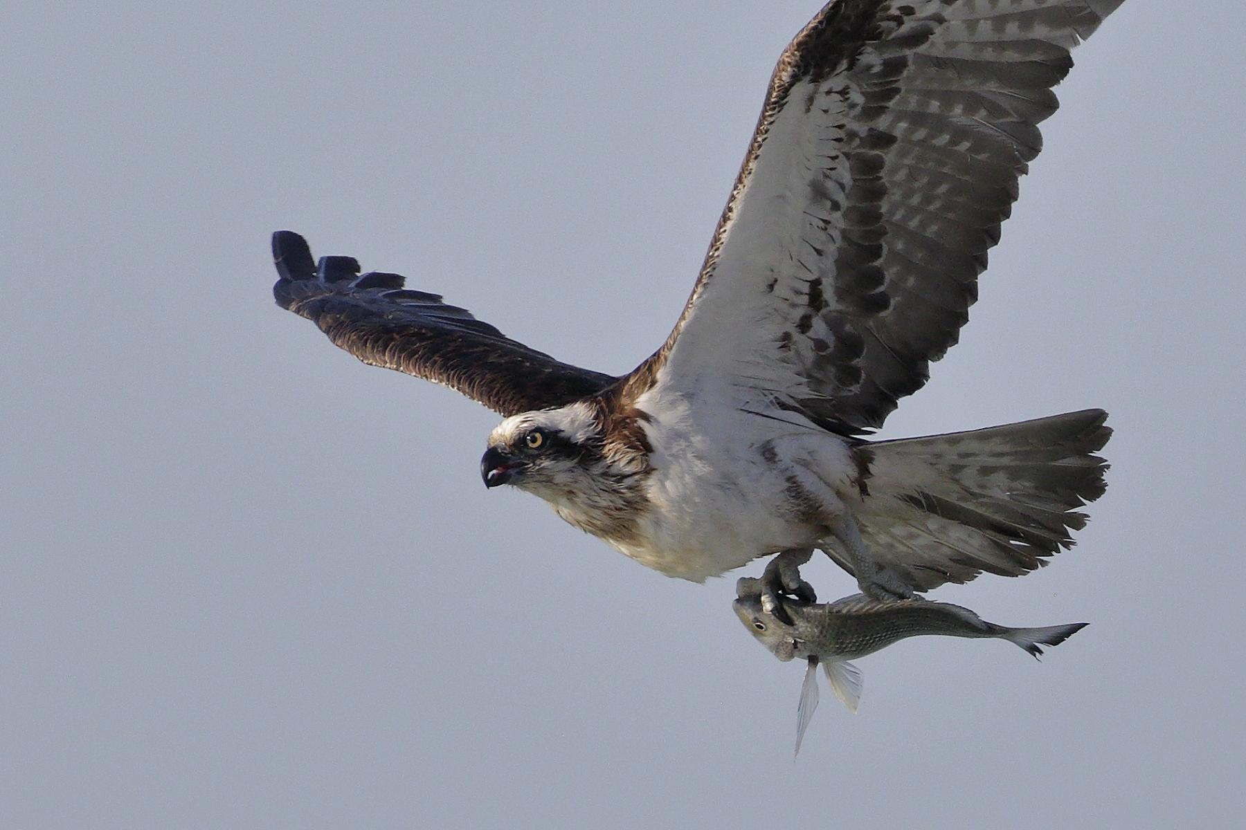 Osprey (Image ID 39219)