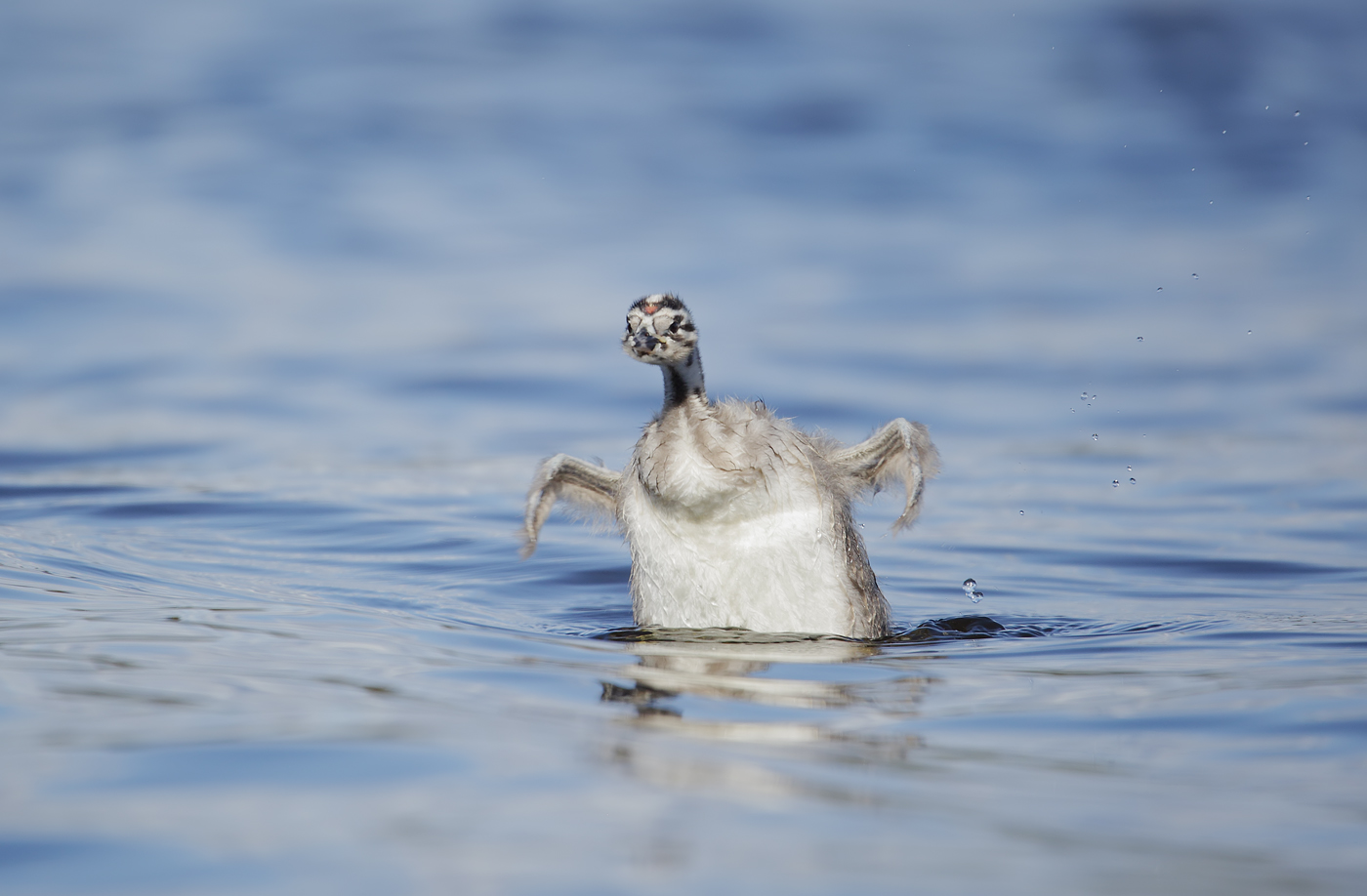 Great Crested Grebe (Image ID 38948)