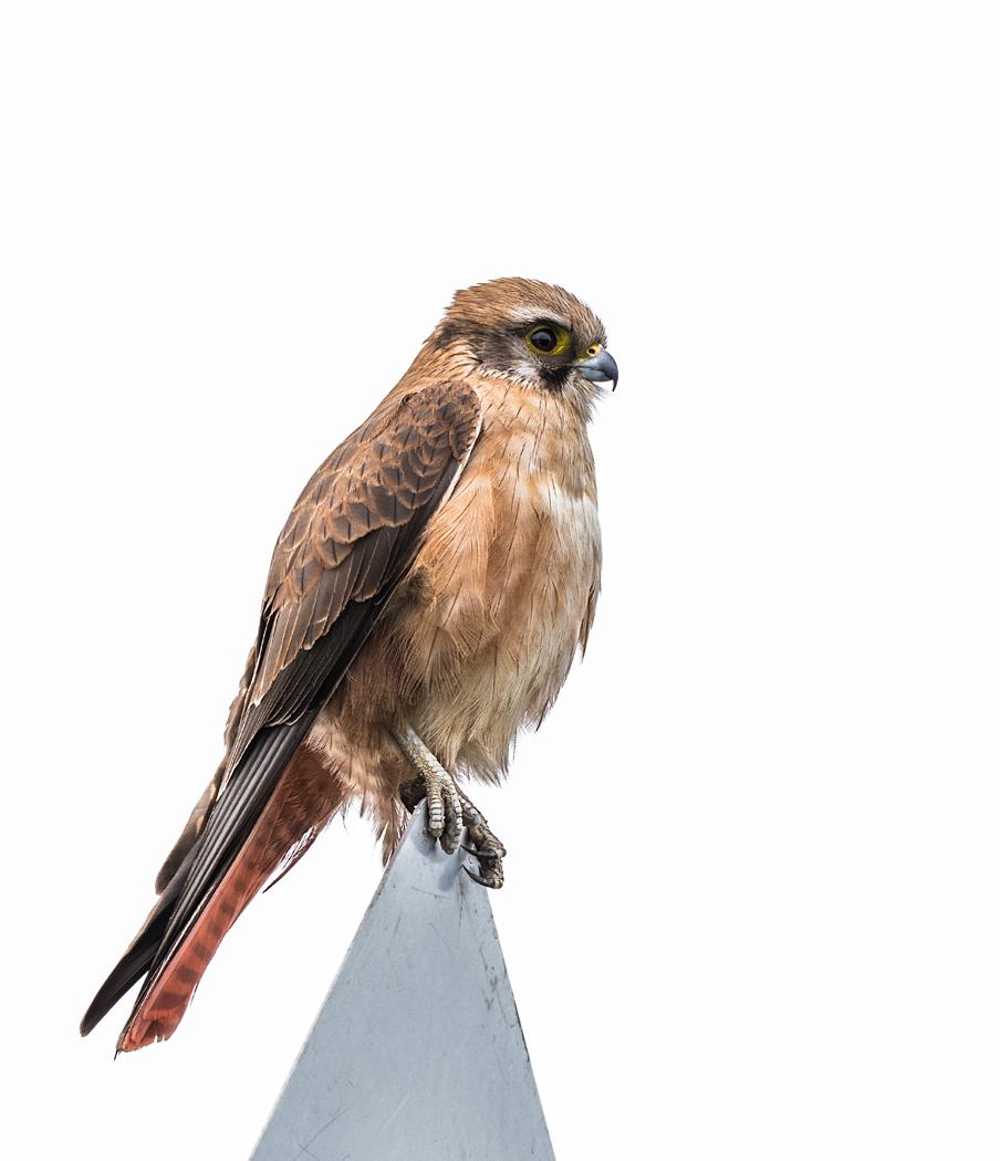 Brown Falcon (Image ID 38893)