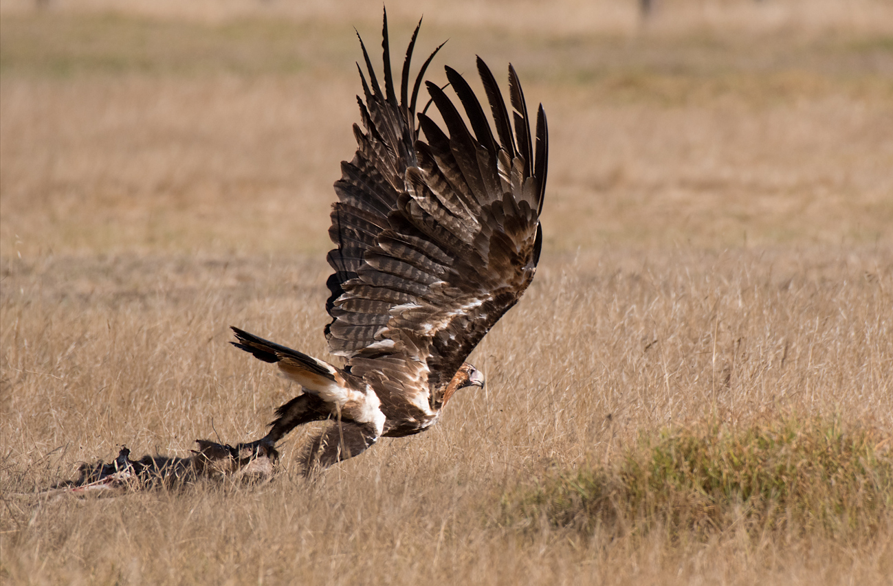 Wedge-tailed Eagle (Image ID 38868)