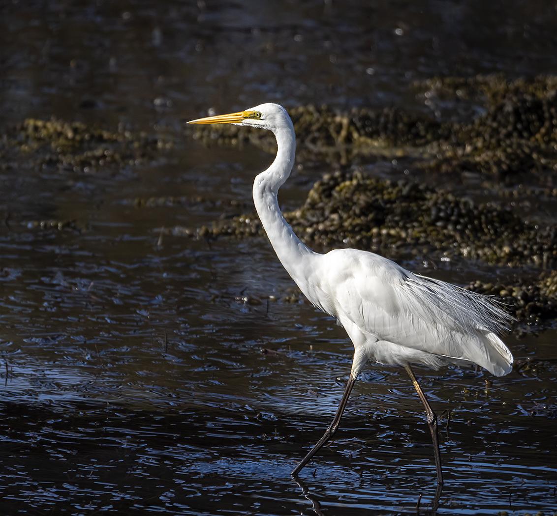 Great Egret (Image ID 39286)