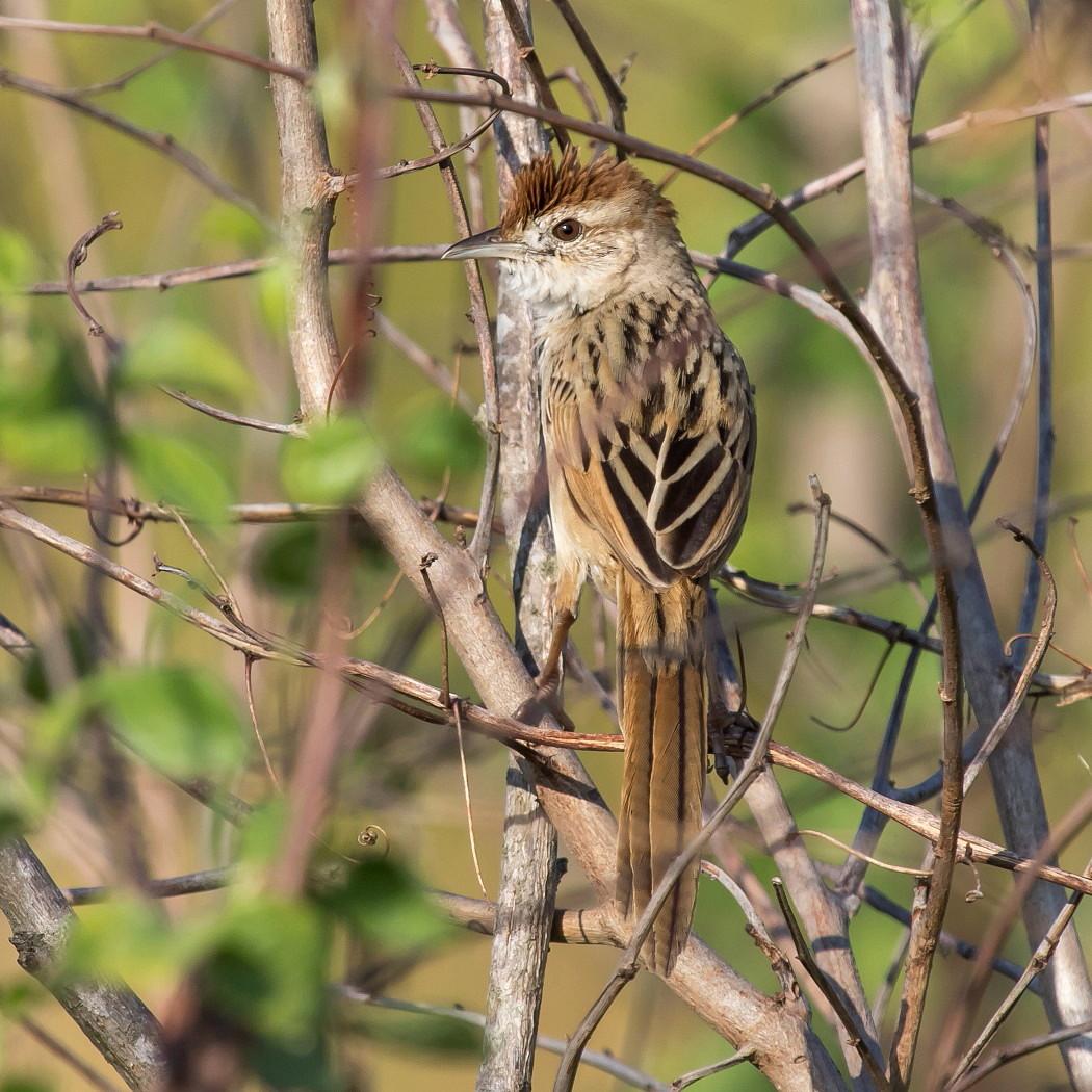 Tawny Grassbird (Image ID 39107)