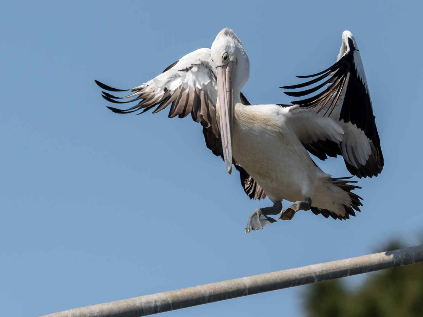 Australian Pelican (Image ID 39230)