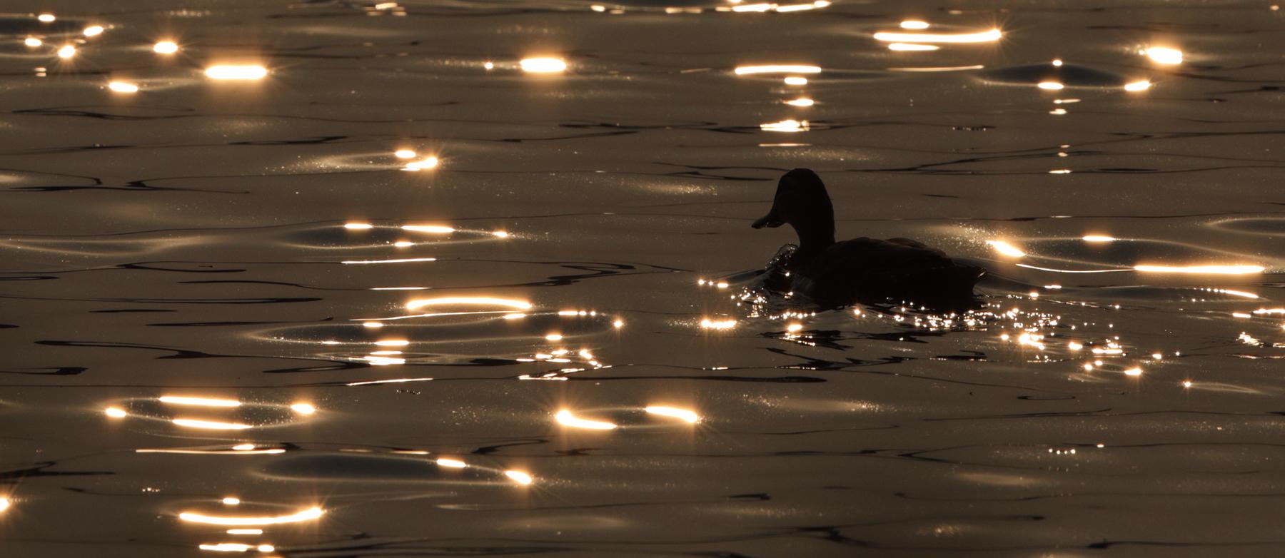 Pacific Black Duck (Image ID 39314)