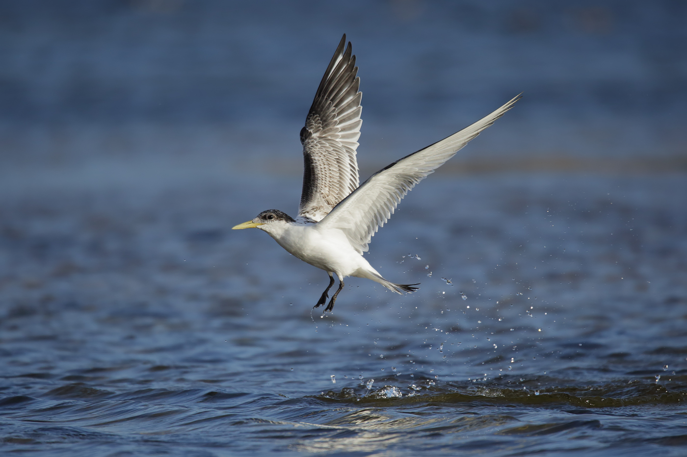 Greater Crested Tern (Image ID 38911)