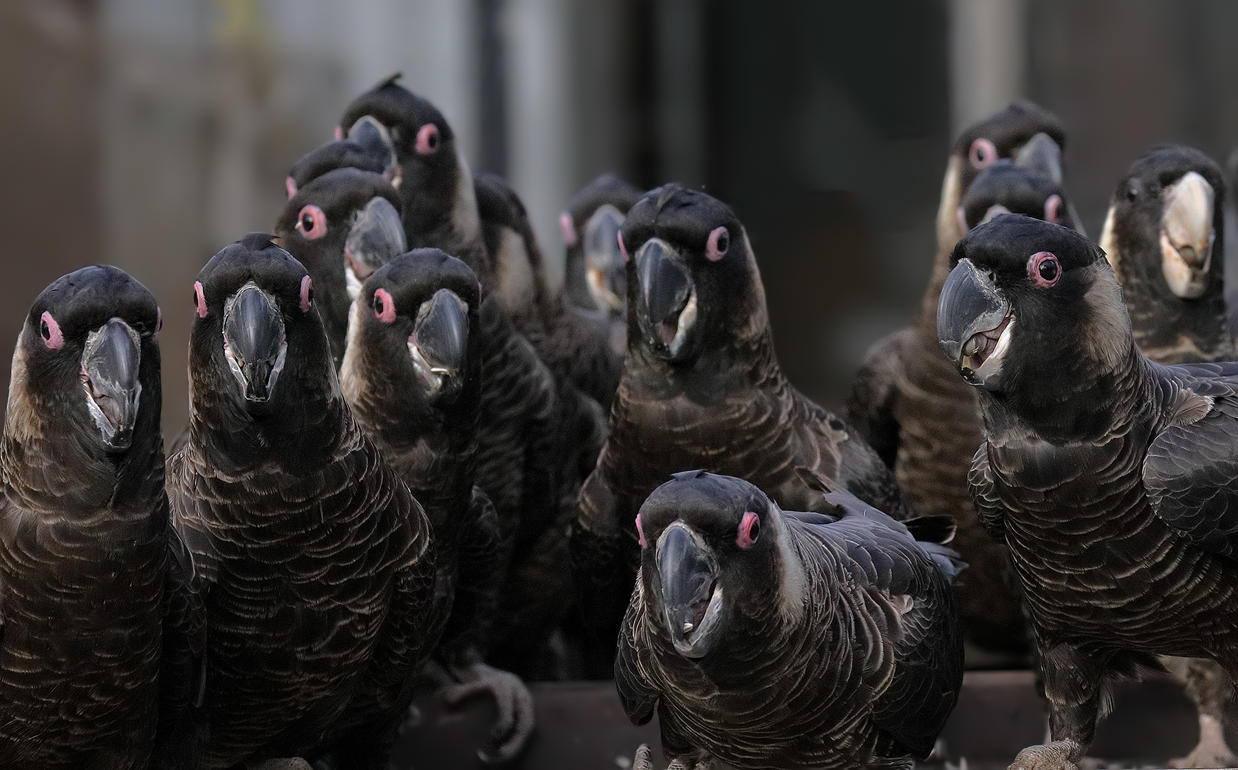 Carnaby's Black-Cockatoo (Image ID 38829)