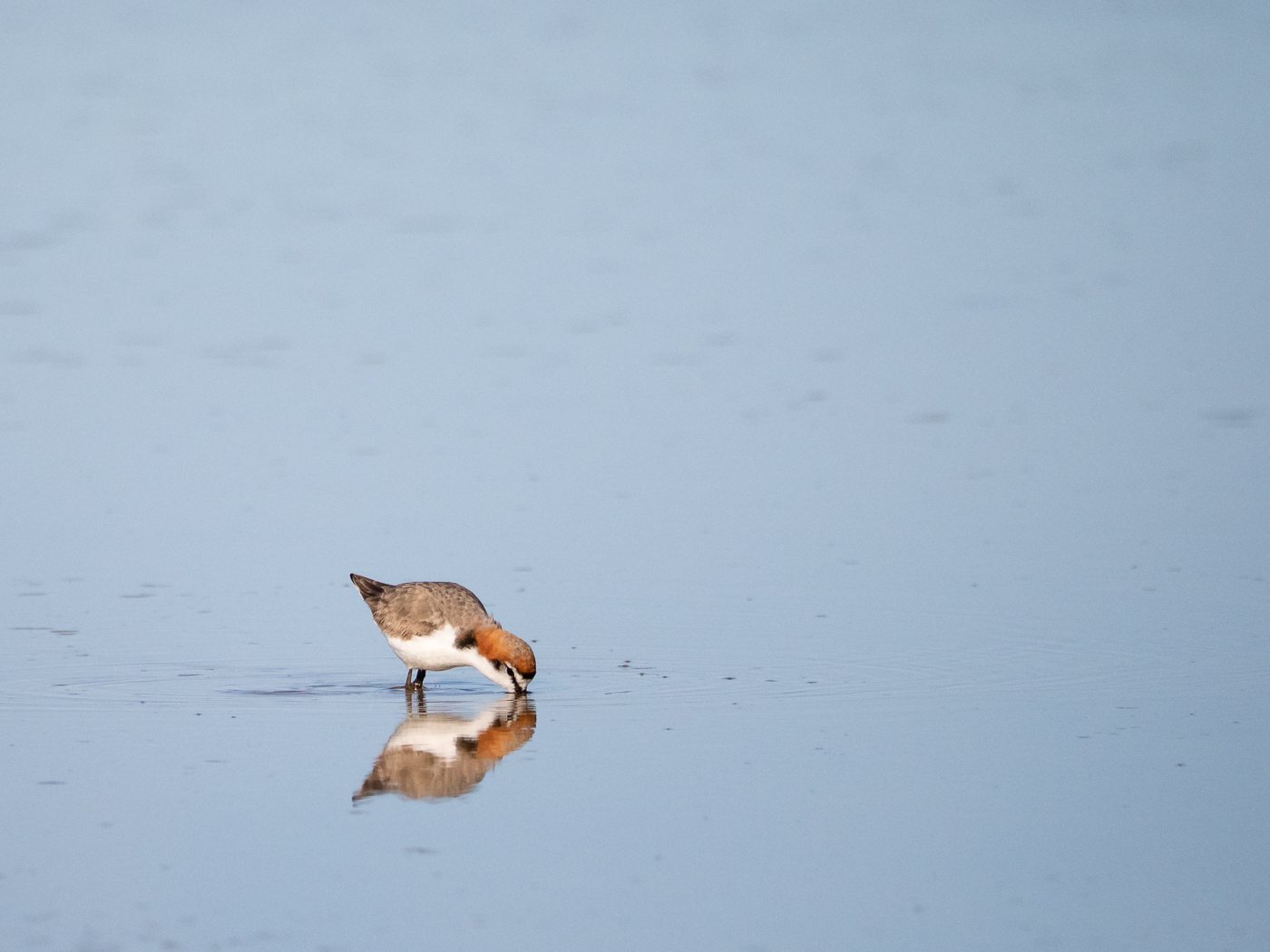 Red-capped Plover (Image ID 39306)