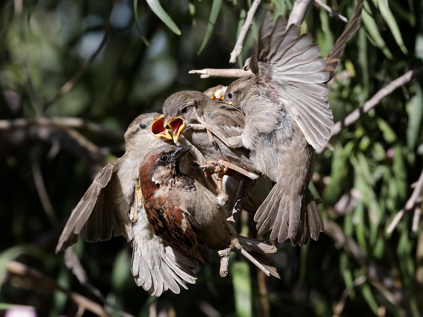 House Sparrow (Image ID 38979)