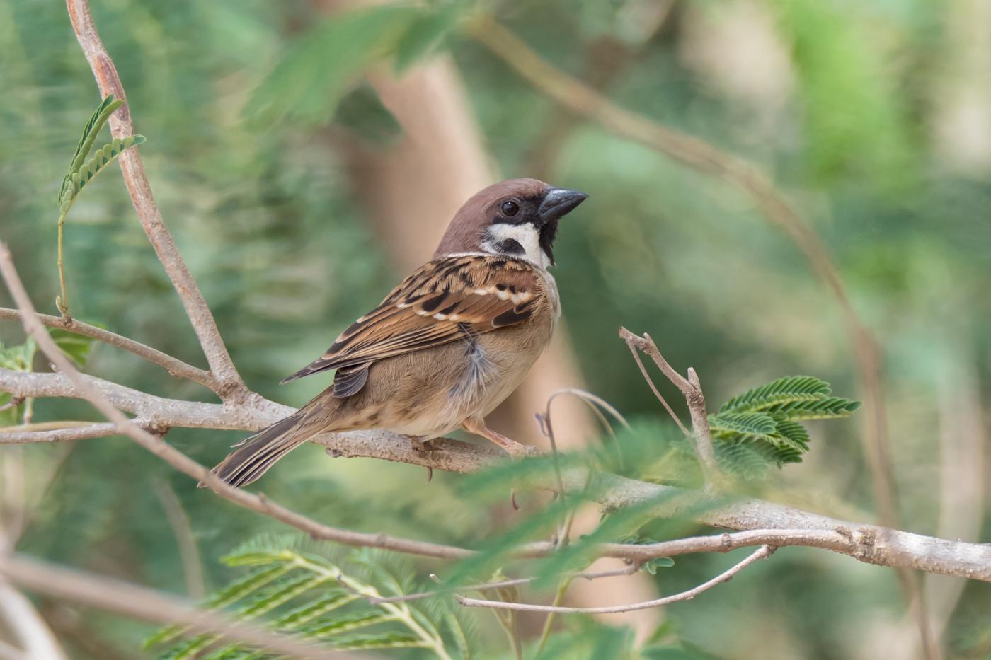 Eurasian Tree Sparrow (Image ID 39139)