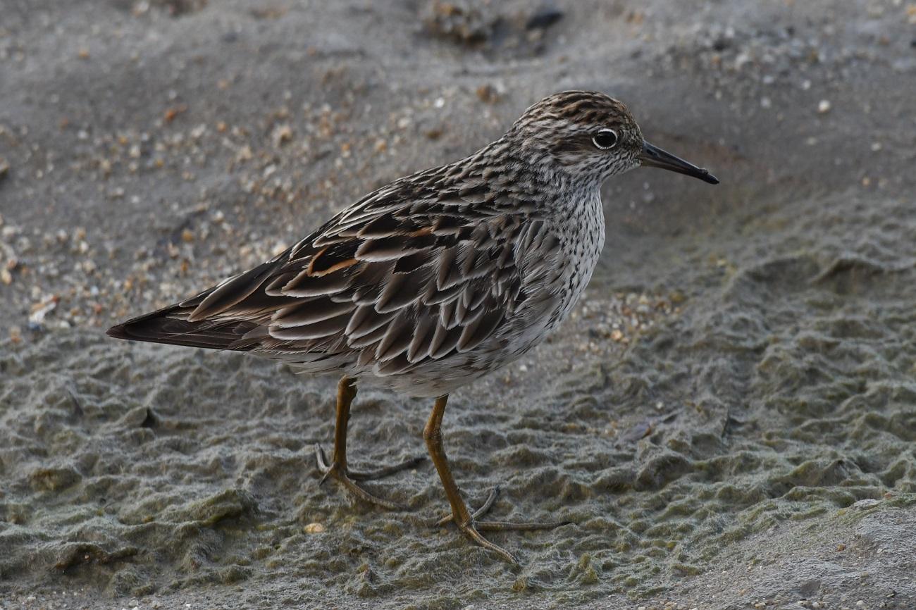 Sharp-tailed Sandpiper (Image ID 39127)