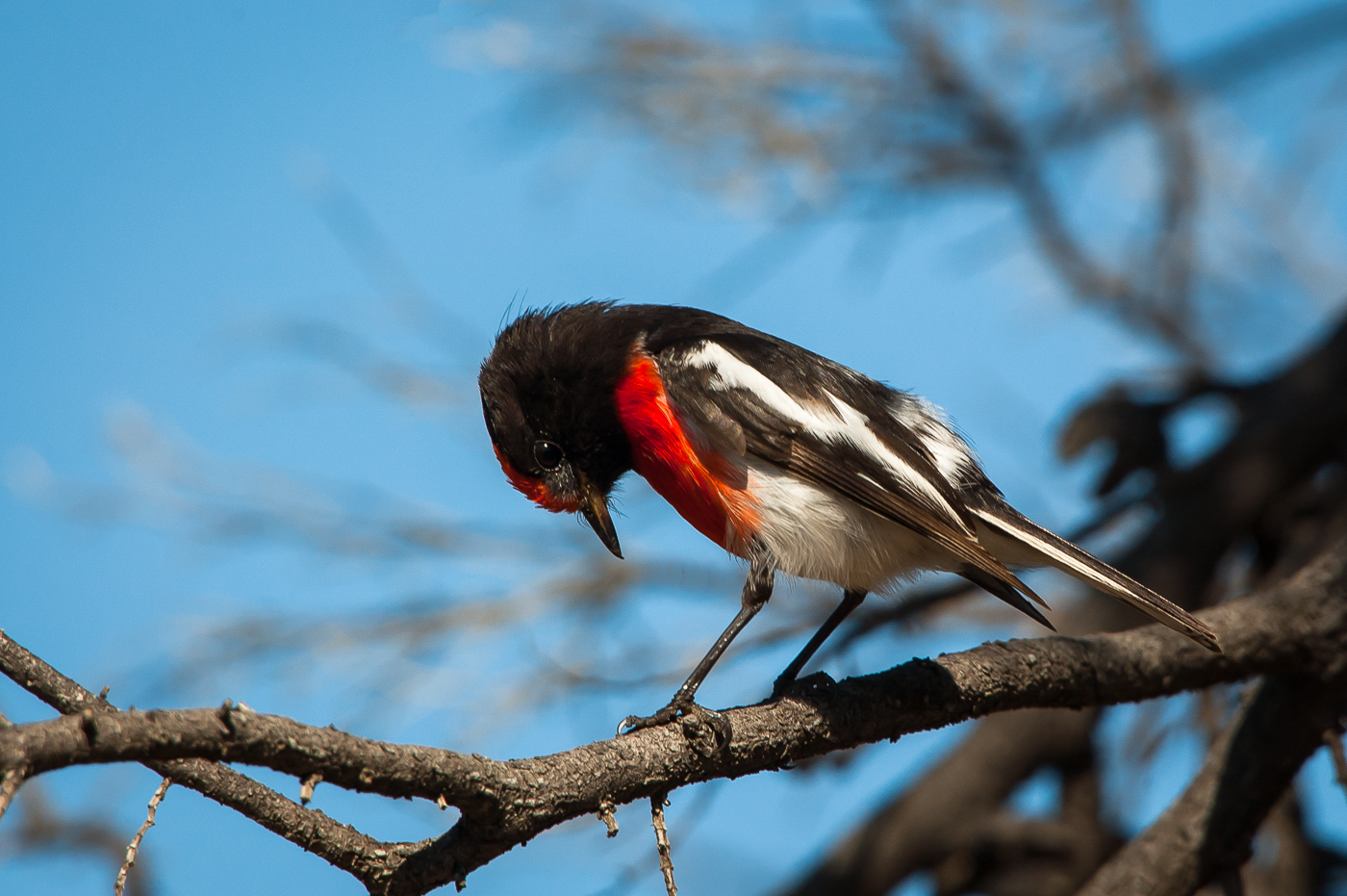 Red-capped Robin (Image ID 39283)
