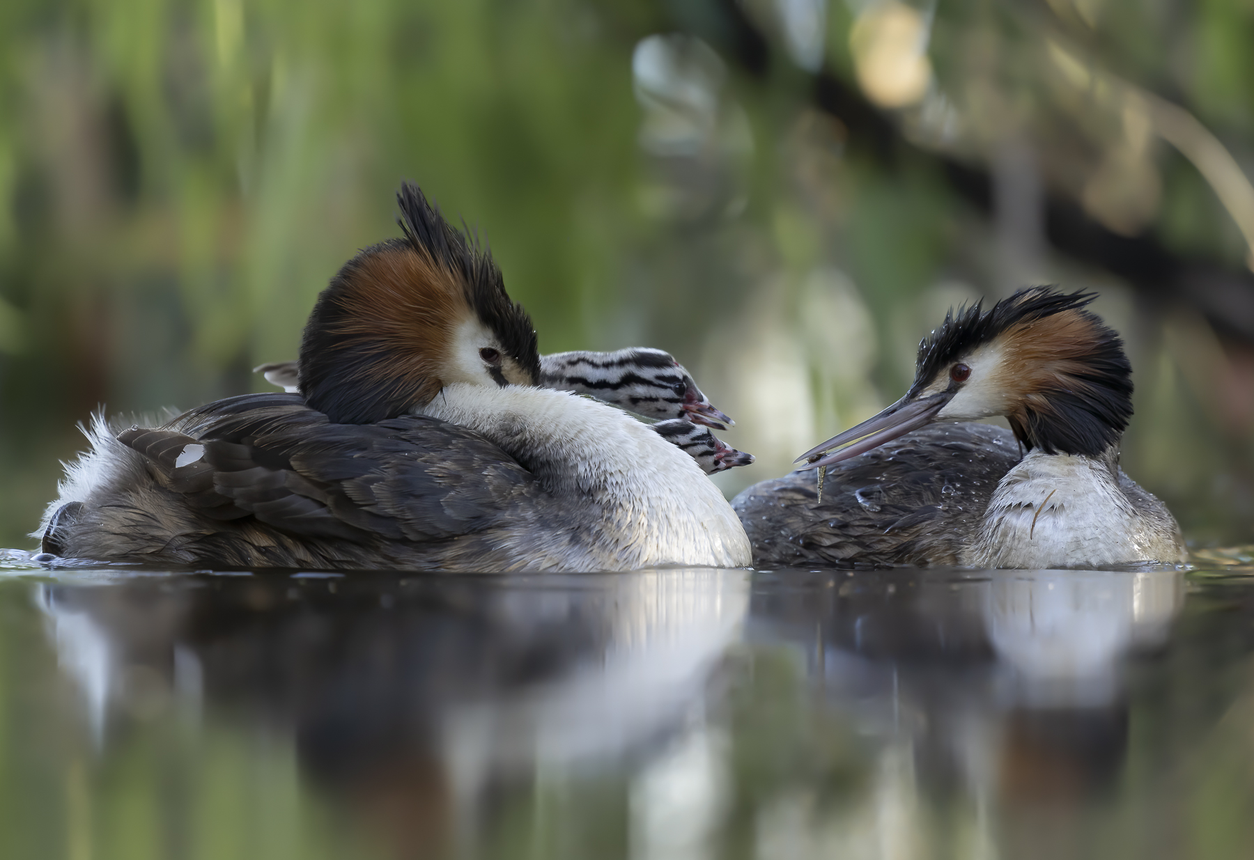 Great Crested Grebe (Image ID 39027)