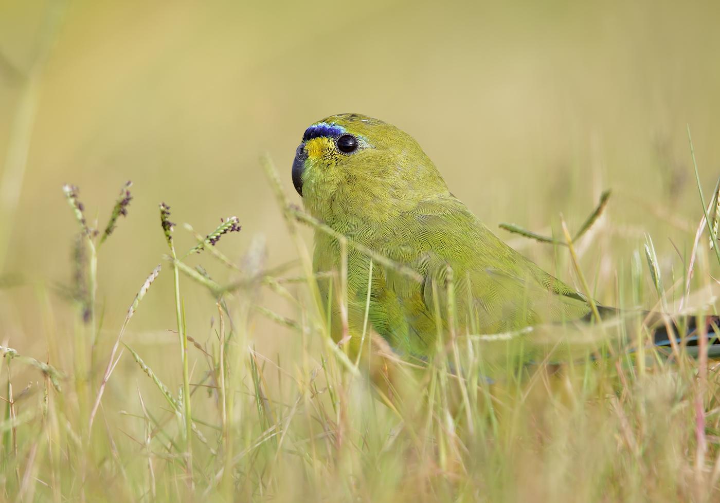 Elegant Parrot (Image ID 39337)