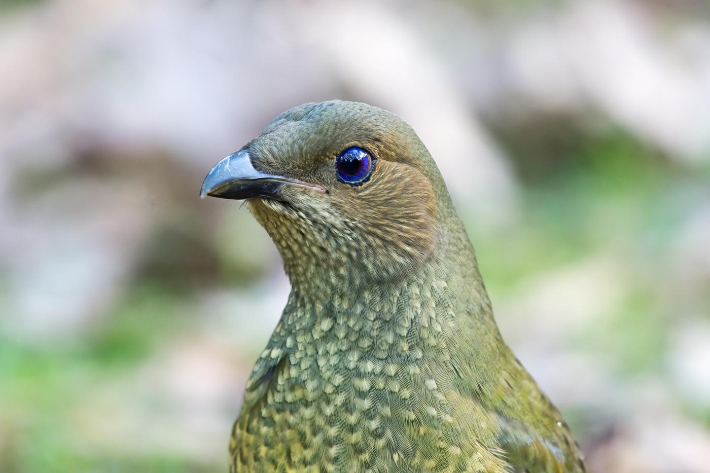 Satin Bowerbird (Image ID 38959)