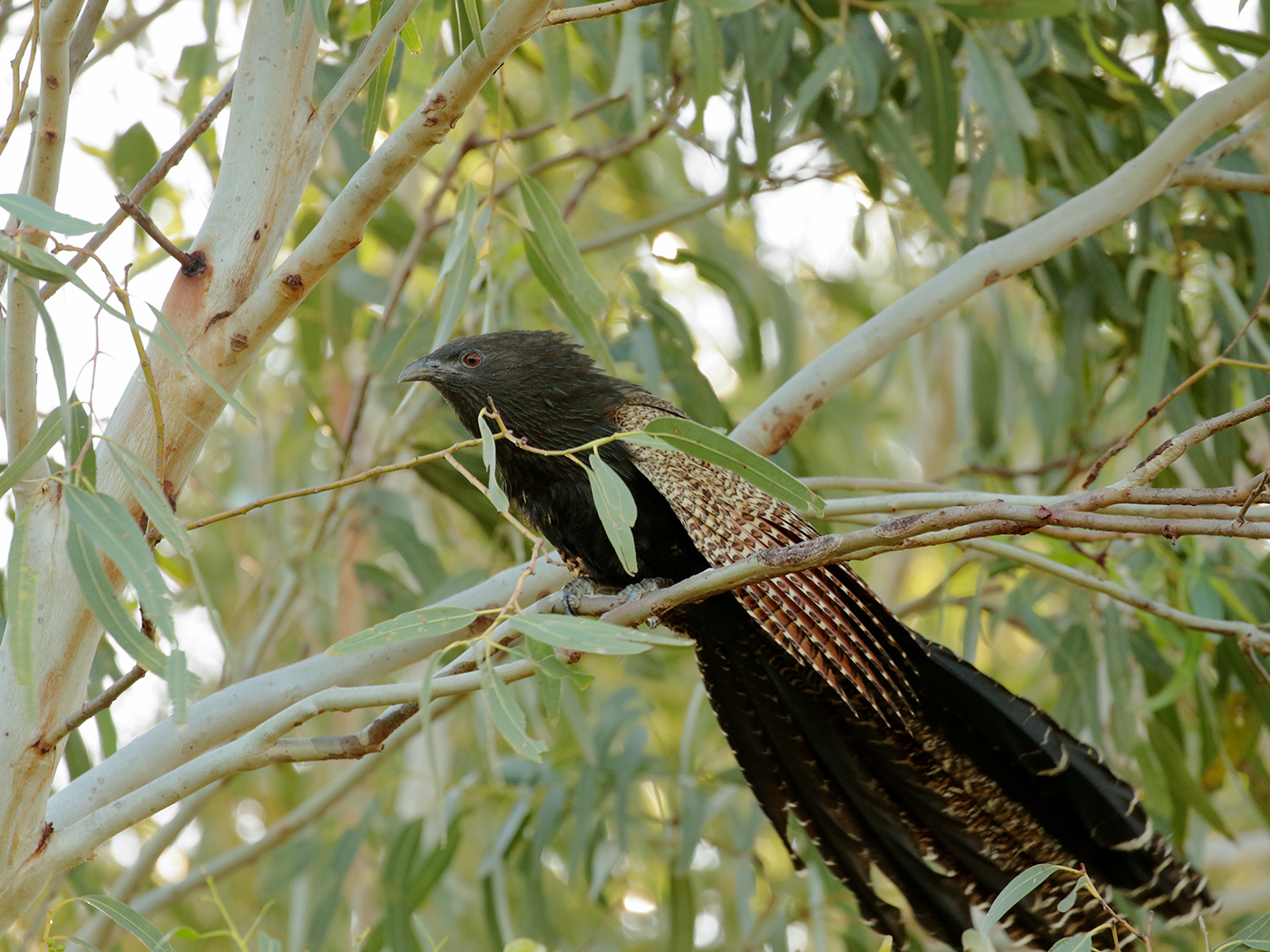 Pheasant Coucal (Image ID 39372)