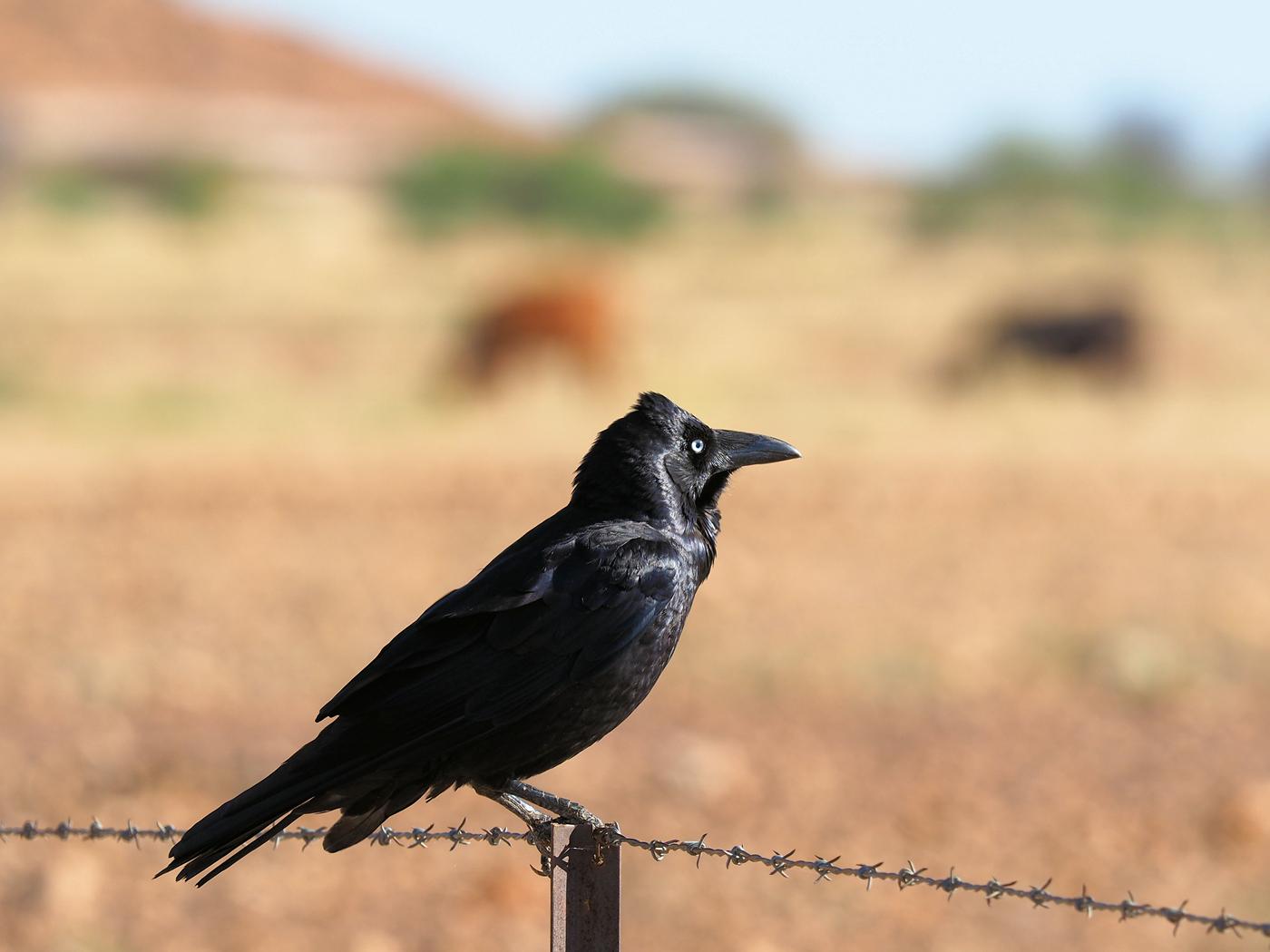 Australian Raven (Image ID 39266)