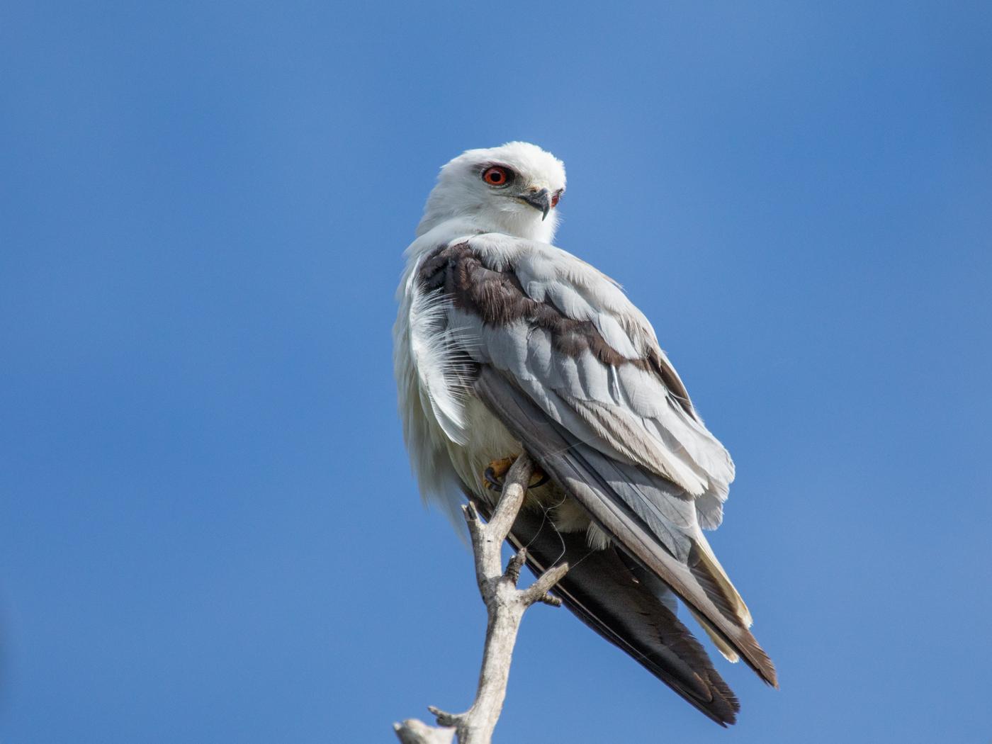 Black-shouldered Kite (Image ID 39395)
