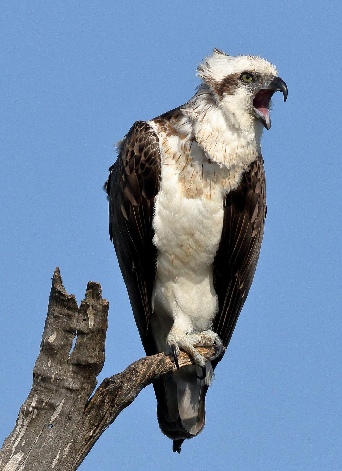 Osprey (Image ID 38849)