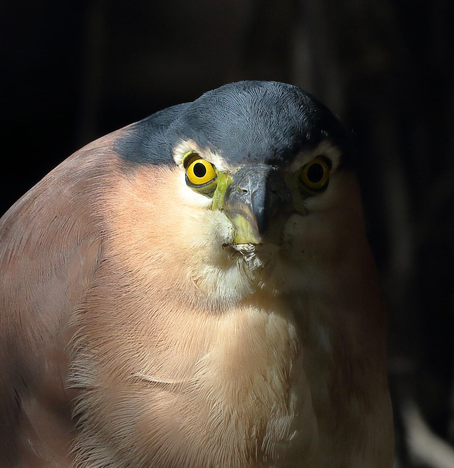 Nankeen Night-Heron (Image ID 38848)