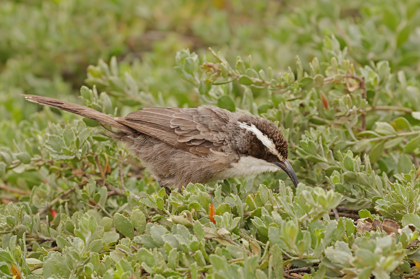 White-browed Babbler (Image ID 39346)