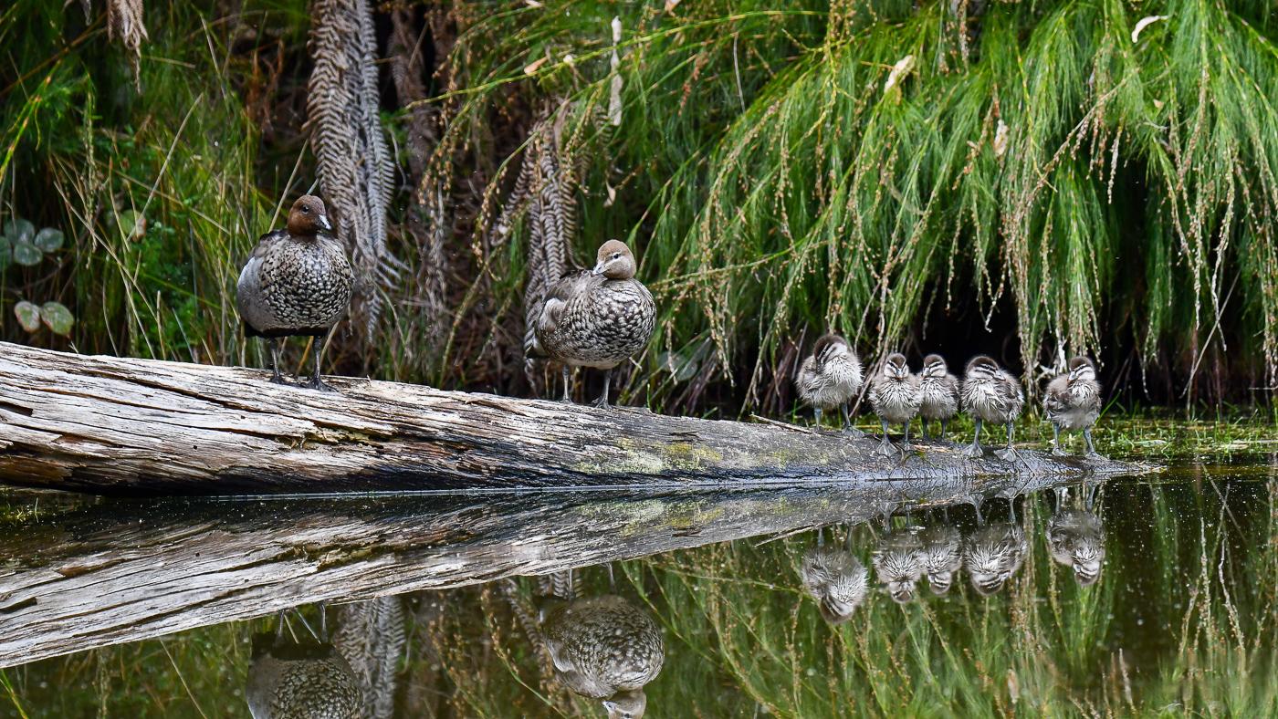 Australian Wood Duck (Image ID 39172)