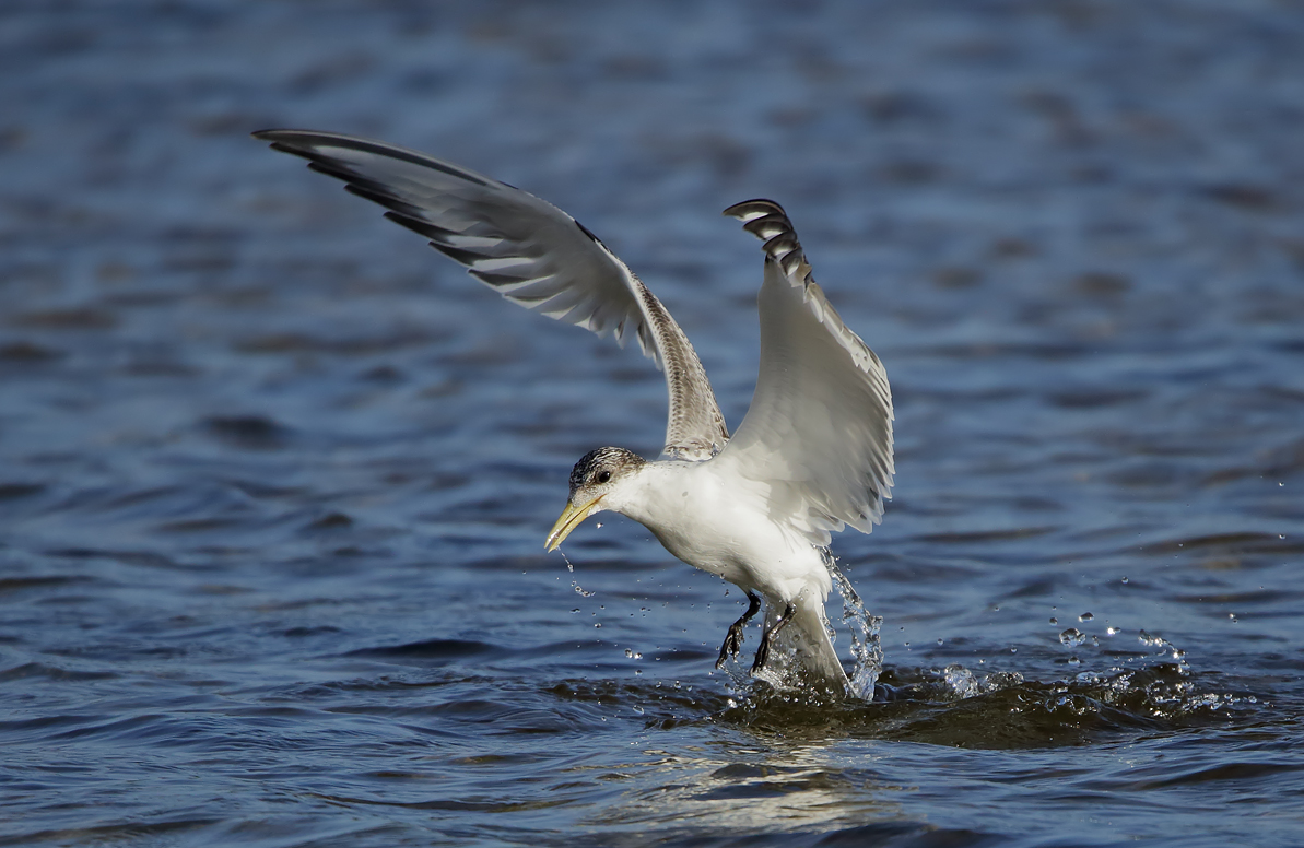 Greater Crested Tern (Image ID 38910)