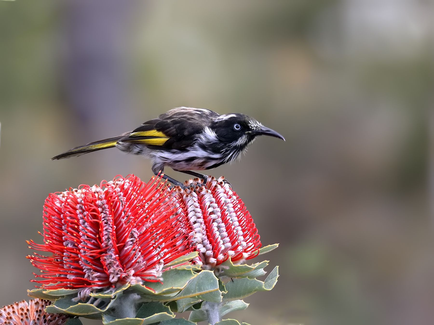 New Holland Honeyeater (Image ID 38824)