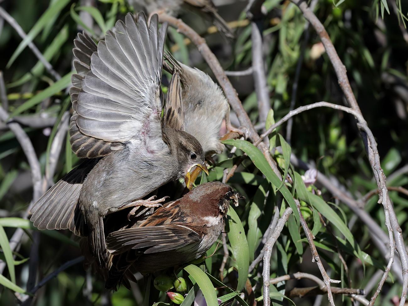 House Sparrow (Image ID 38980)
