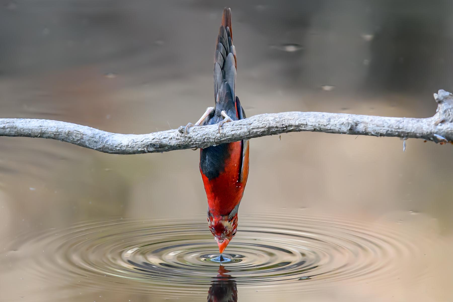 Black-bellied Crimson Finch (Image ID 39152)
