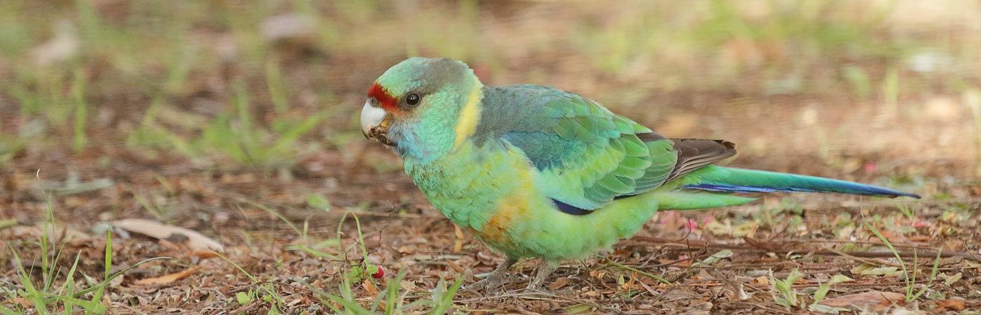 Australian Ringneck (Image ID 39164)