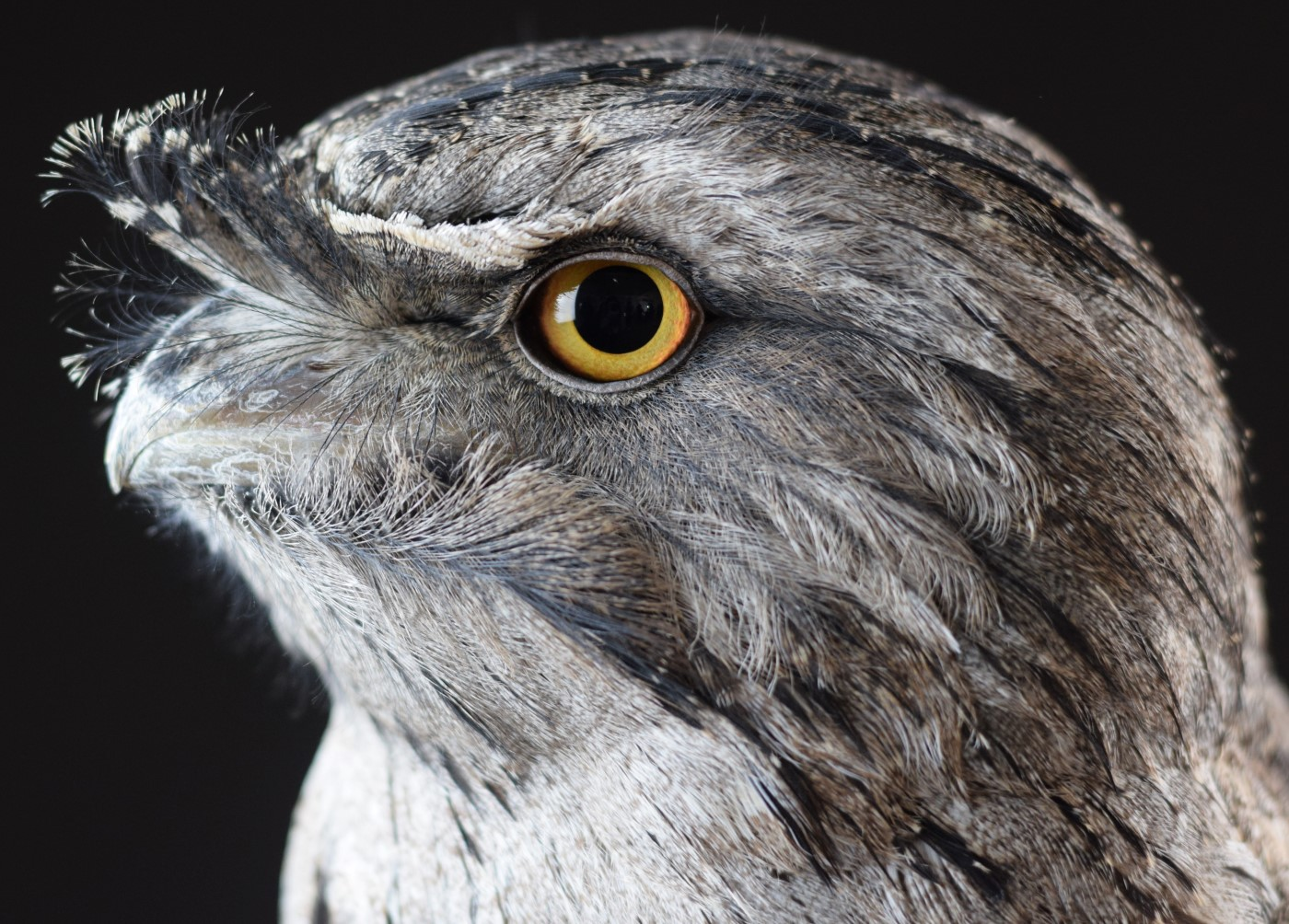 Tawny Frogmouth (Image ID 39333)