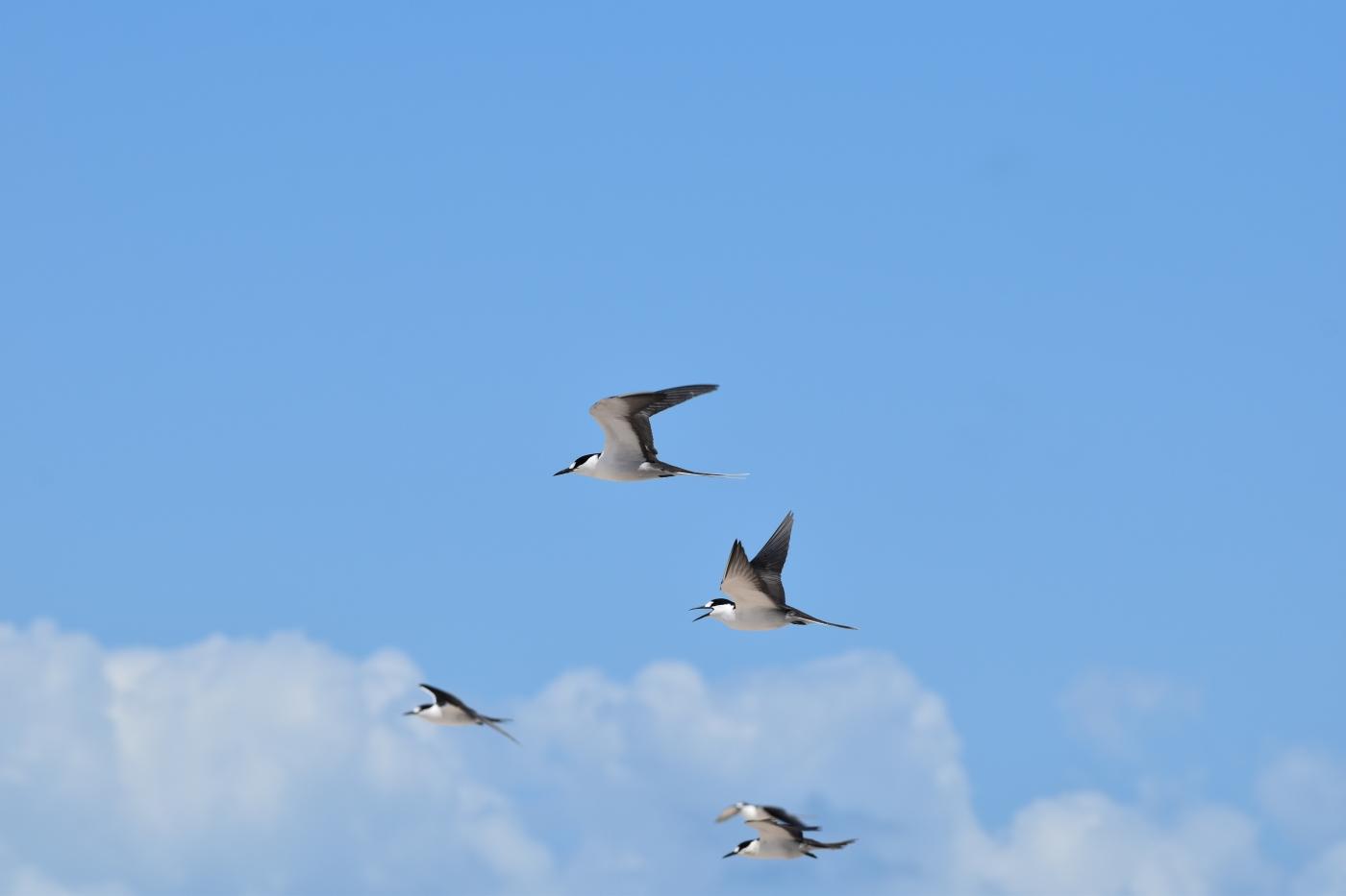 Sooty Tern (Image ID 38806)