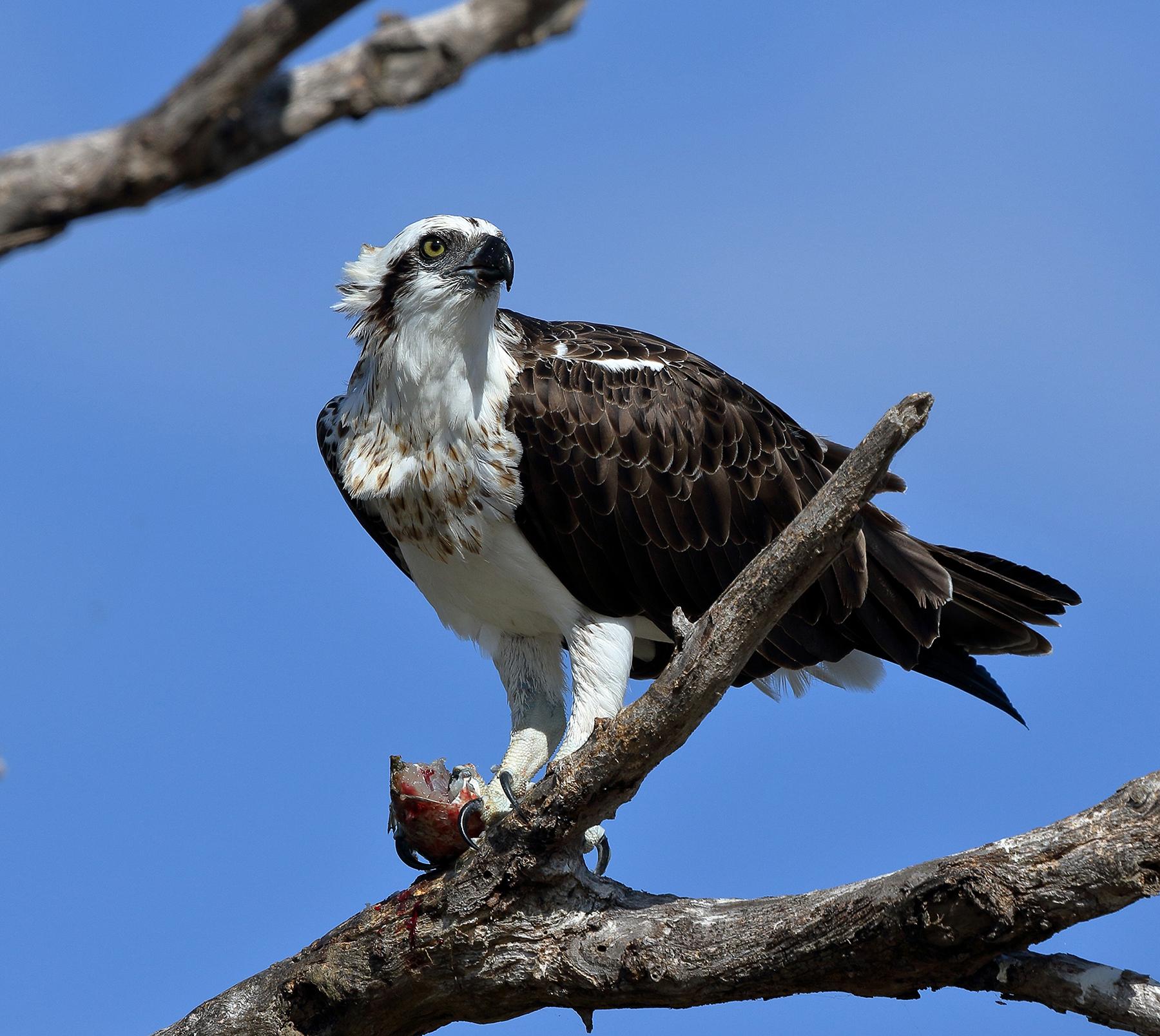 Osprey (Image ID 39751)