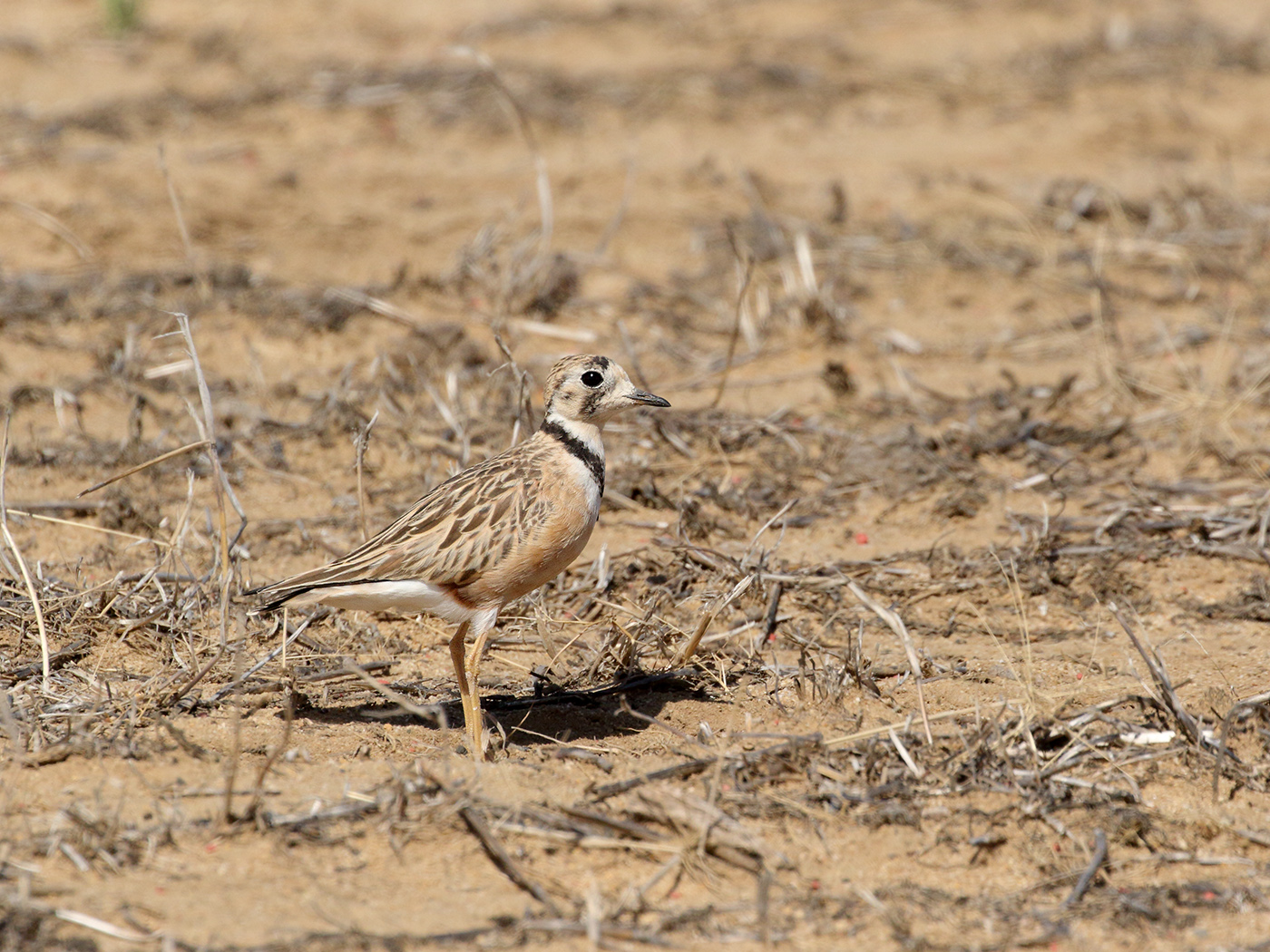 Inland Dotterel (Image ID 39602)