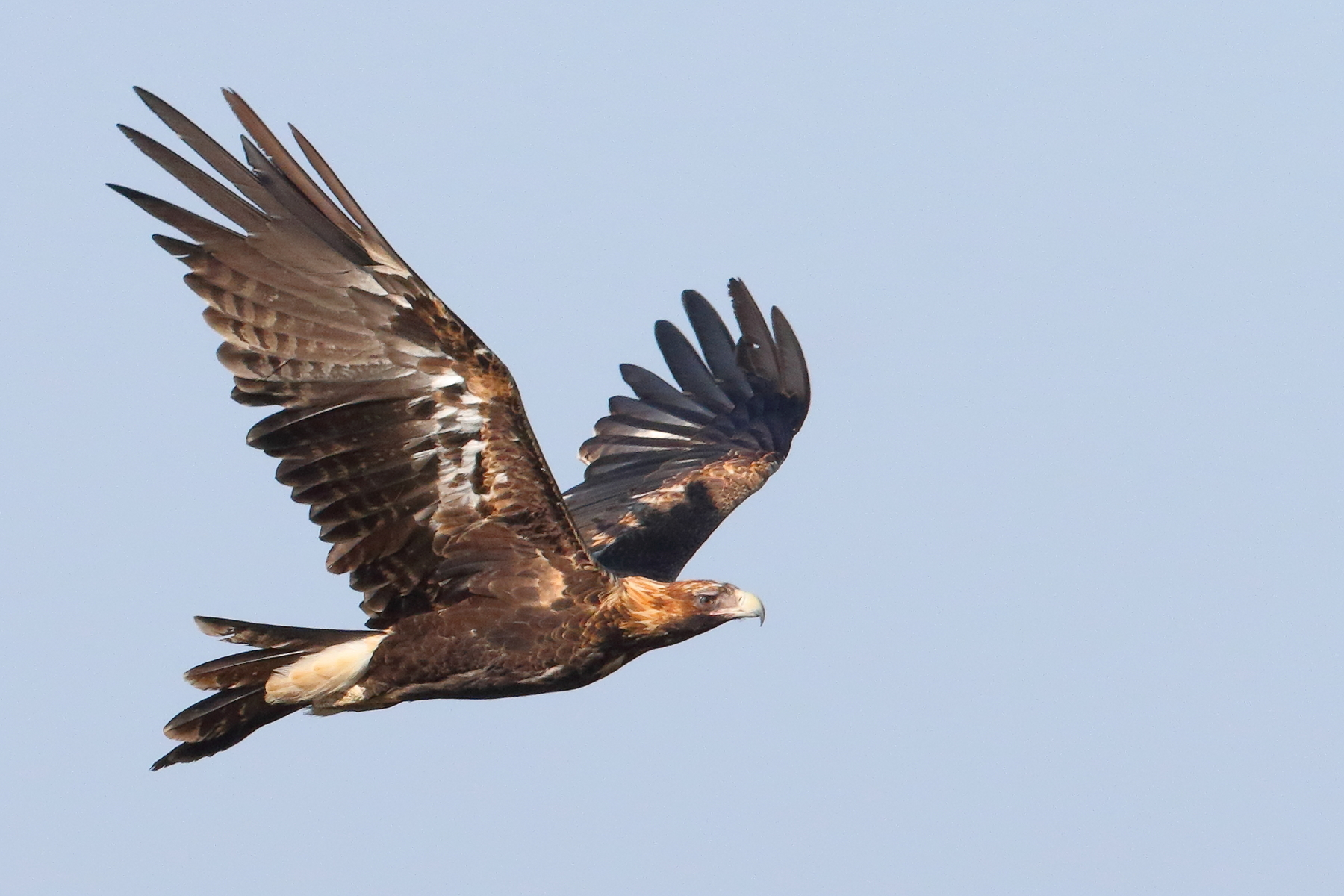 Wedge-tailed Eagle (Image ID 39499)