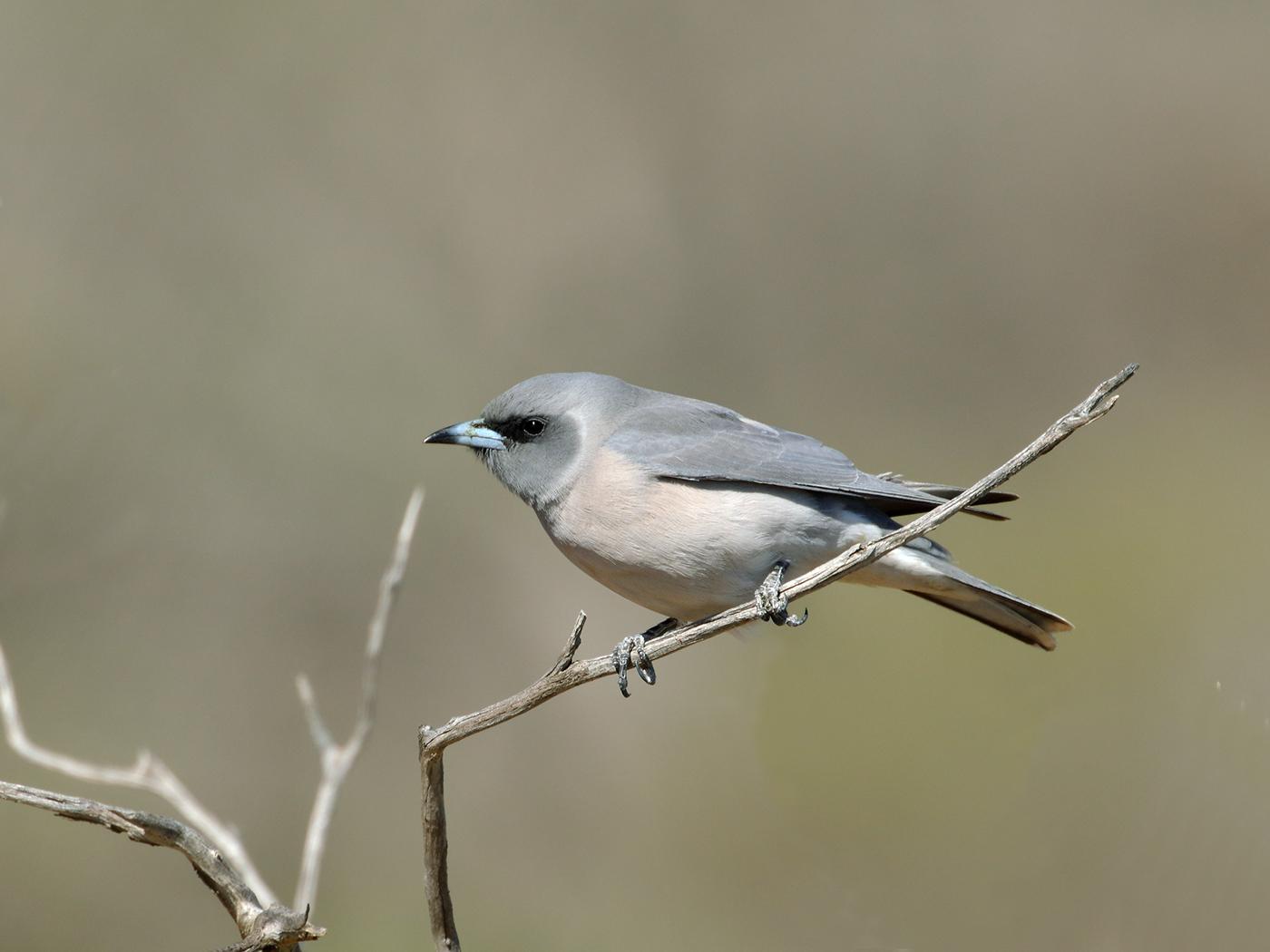Masked Woodswallow (Image ID 39673)