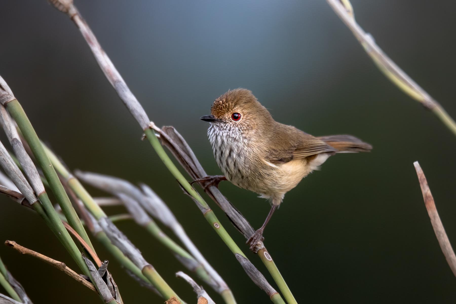 Brown Thornbill (Image ID 39618)
