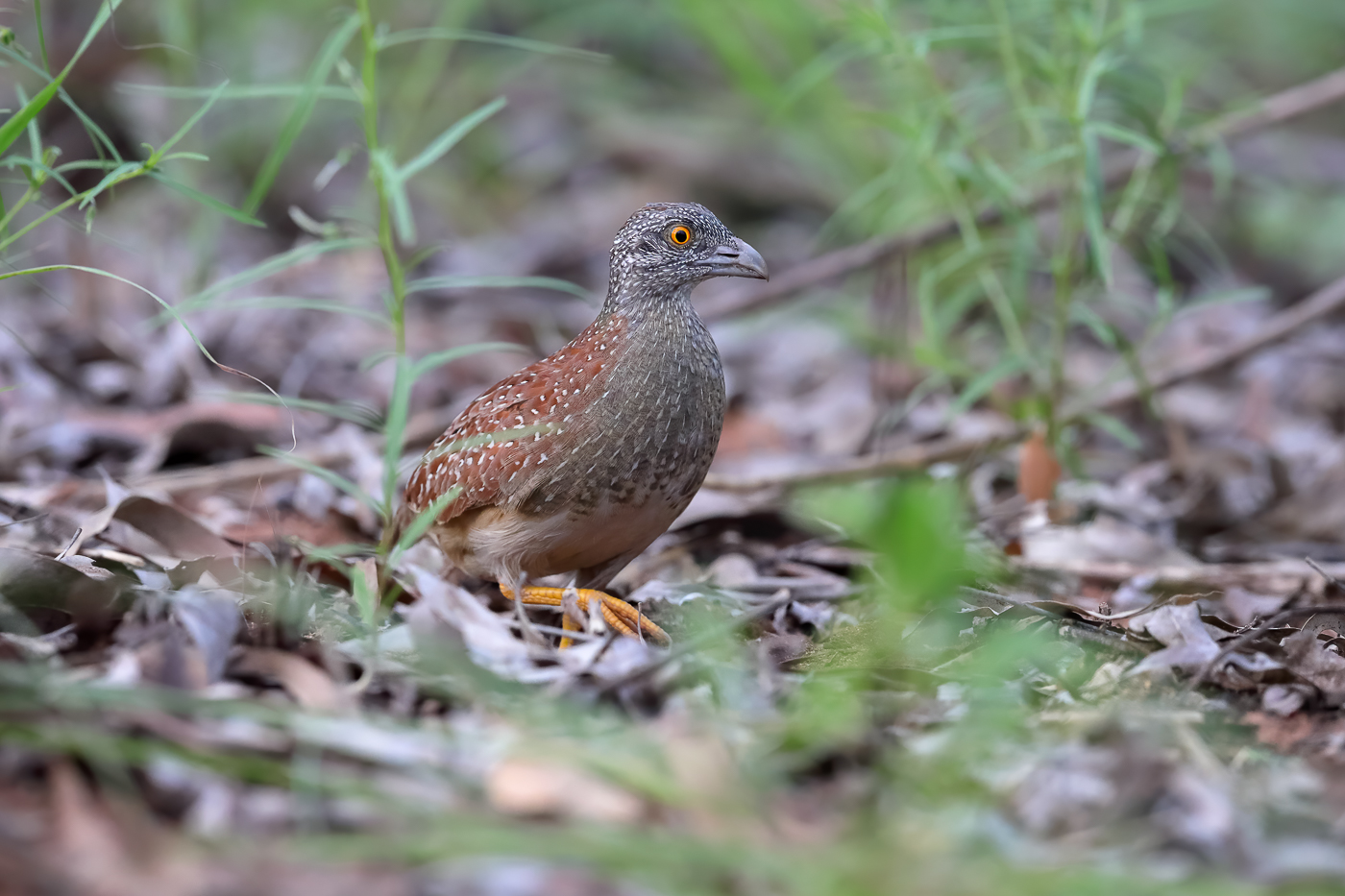 Chestnut-backed Button-quail (Image ID 39596)