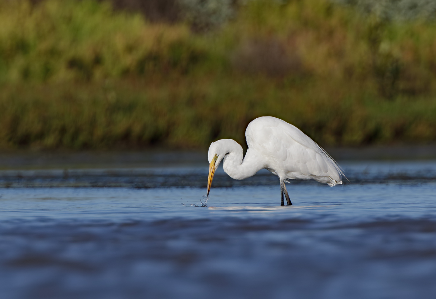 Great Egret (Image ID 39555)