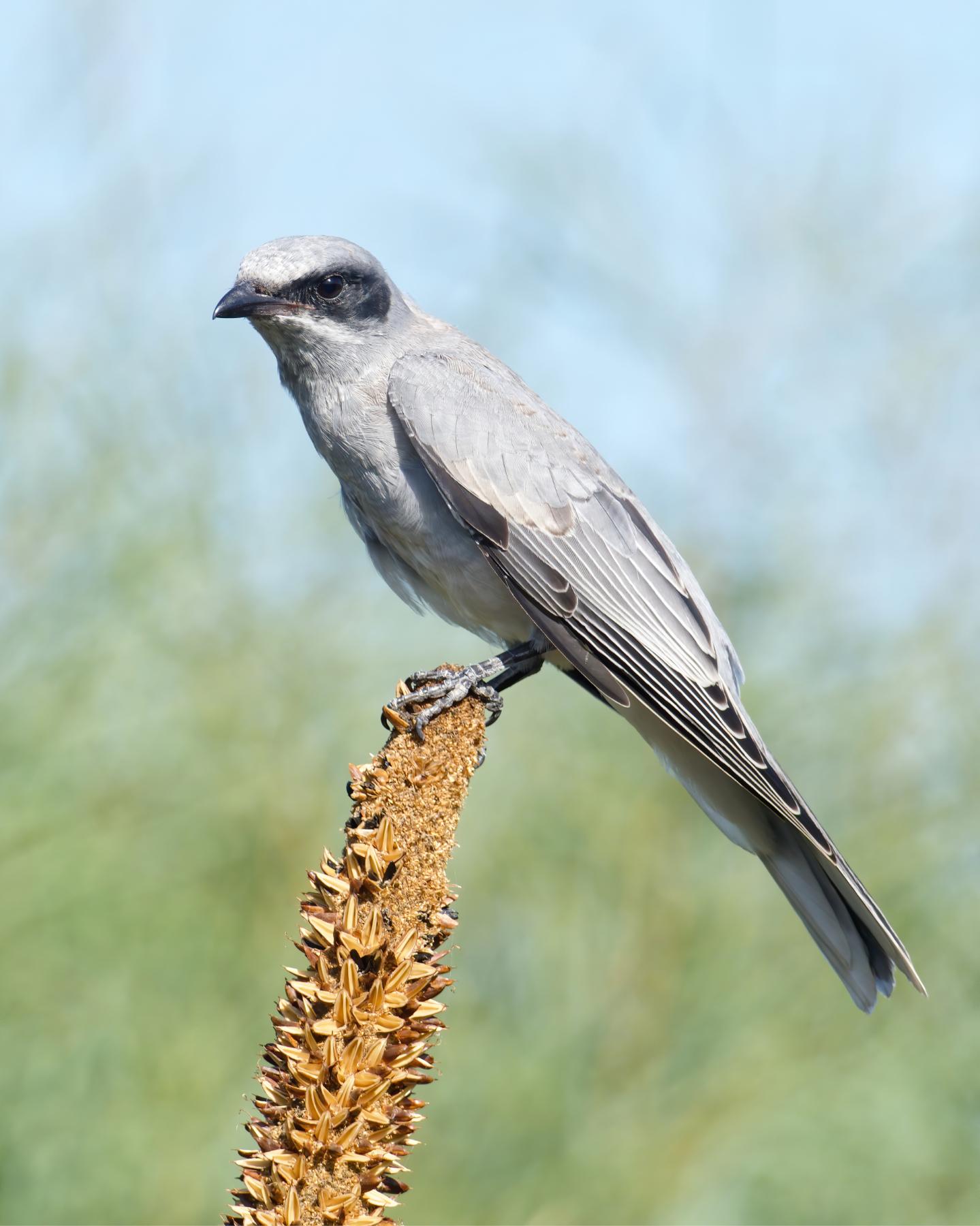 Black-faced Cuckoo-shrike (Image ID 39649)