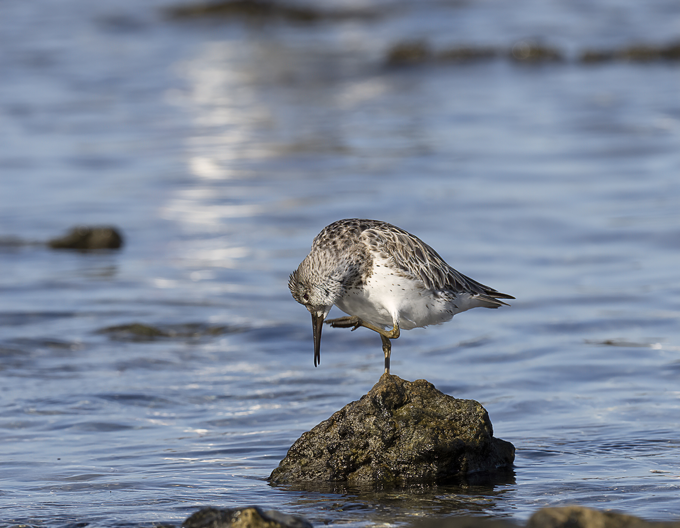 Great Knot (Image ID 39559)