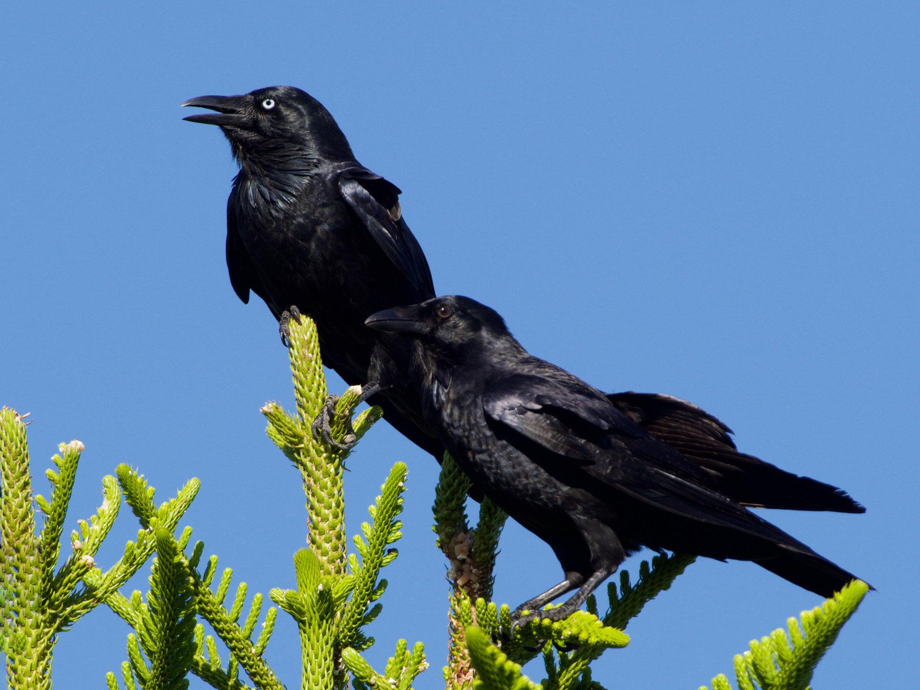 Australian Raven (Image ID 39662)