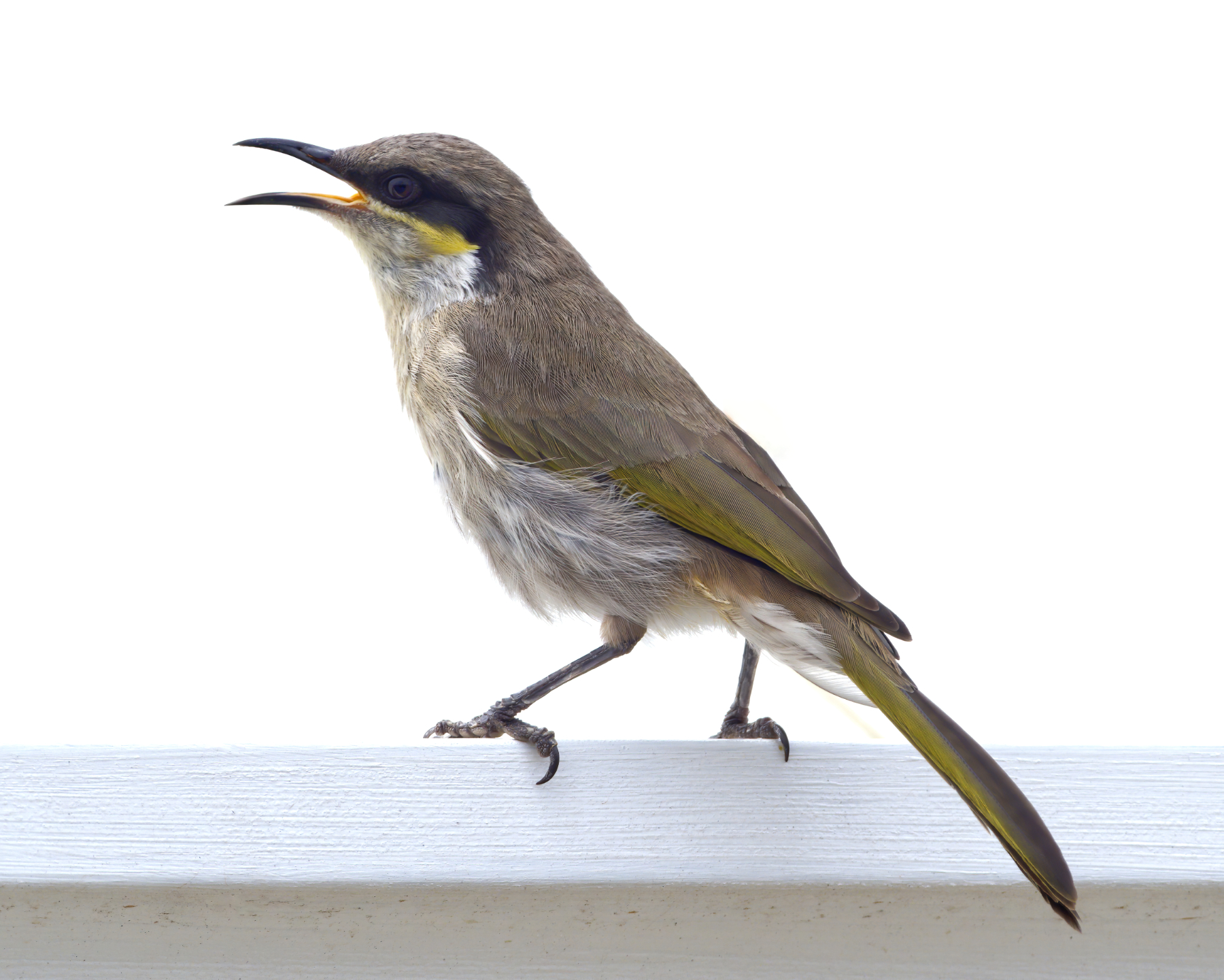 Singing Honeyeater (Image ID 39650)