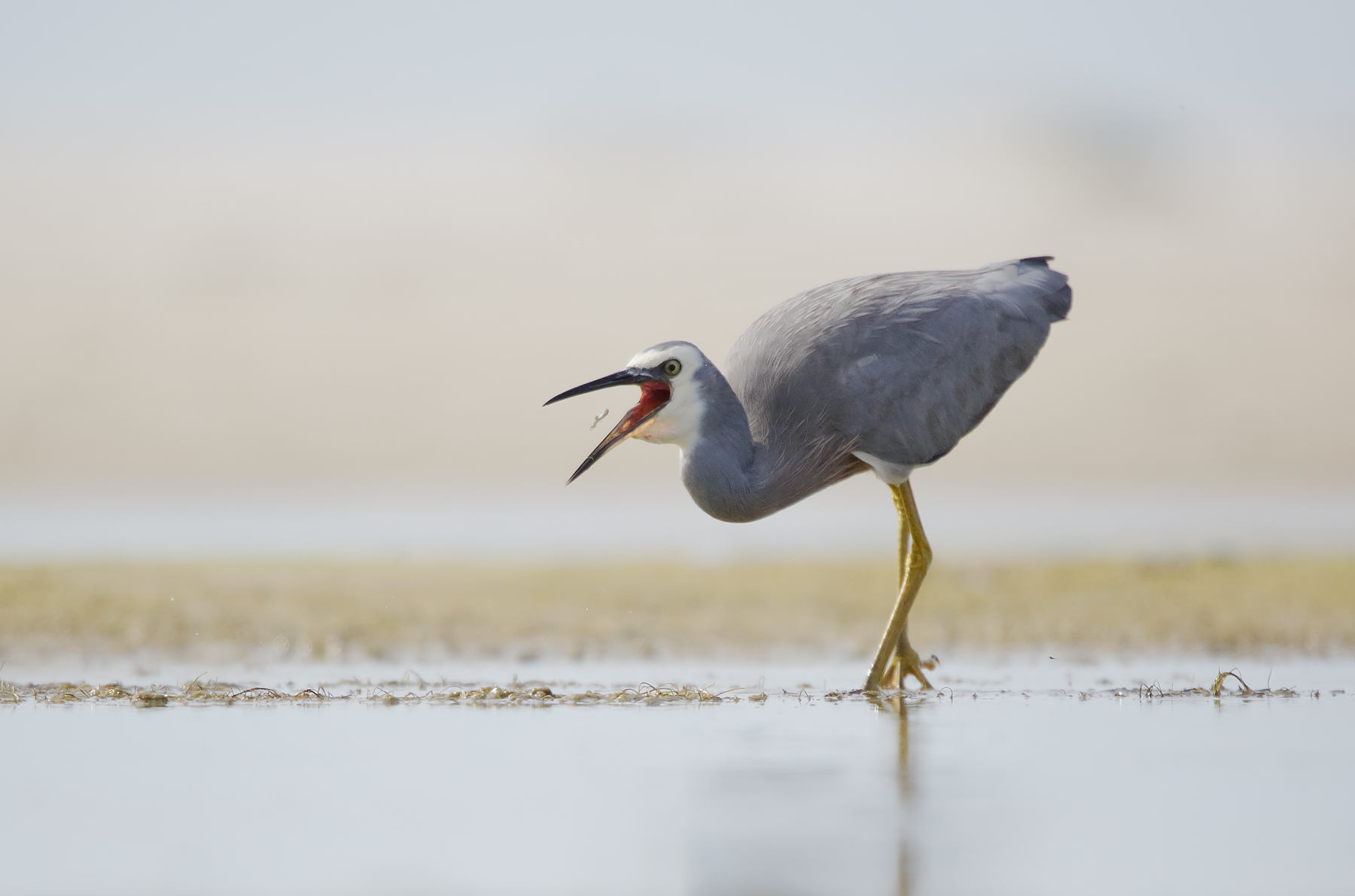 White-faced Heron (Image ID 39503)